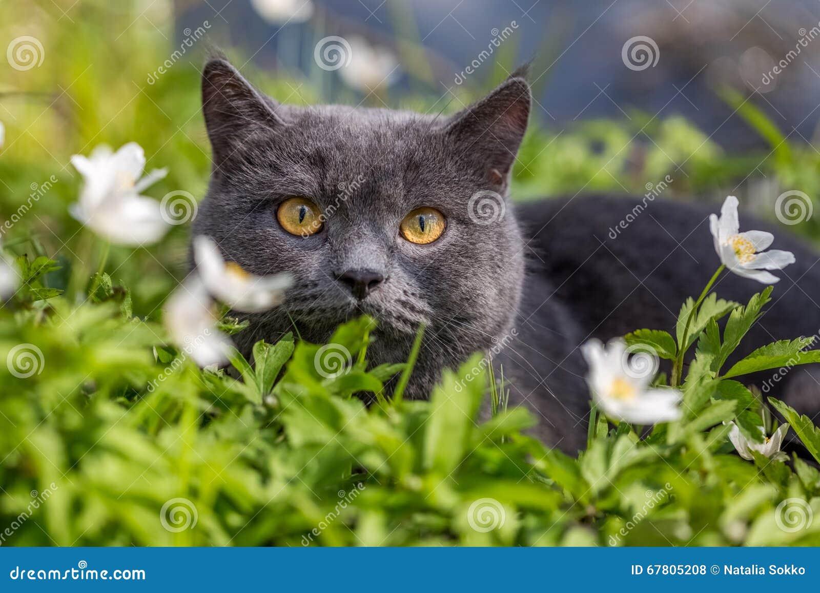 Gatto britannico nei fiori di primavera fotografia stock for Fiori di primavera