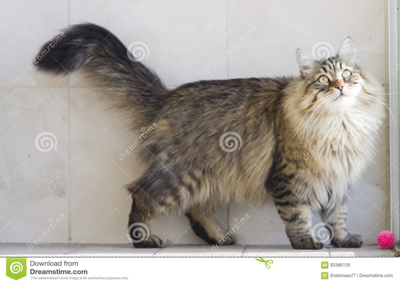 Gatto Che Gioca Con Una Palla Nel Giardino Gatto Siberiano Marrone