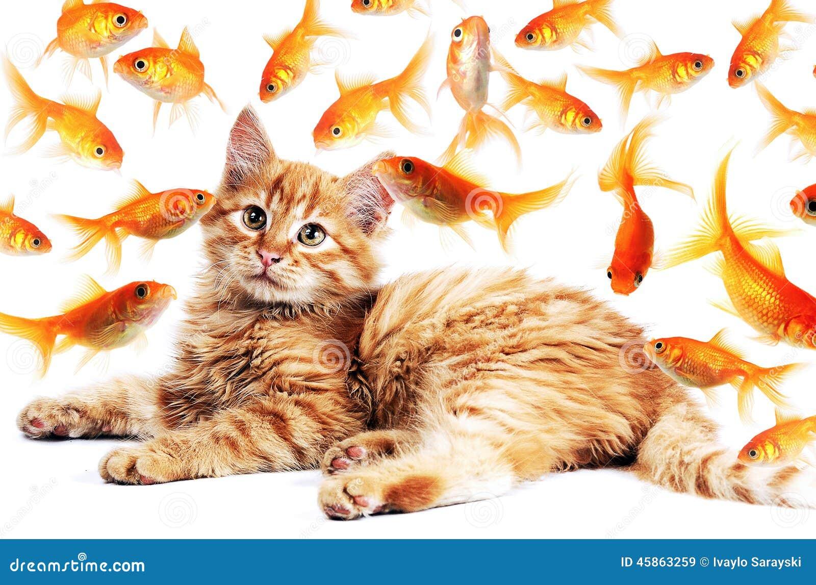 Gatto che guarda i pesci rossi immagine stock immagine for Razze di pesci rossi