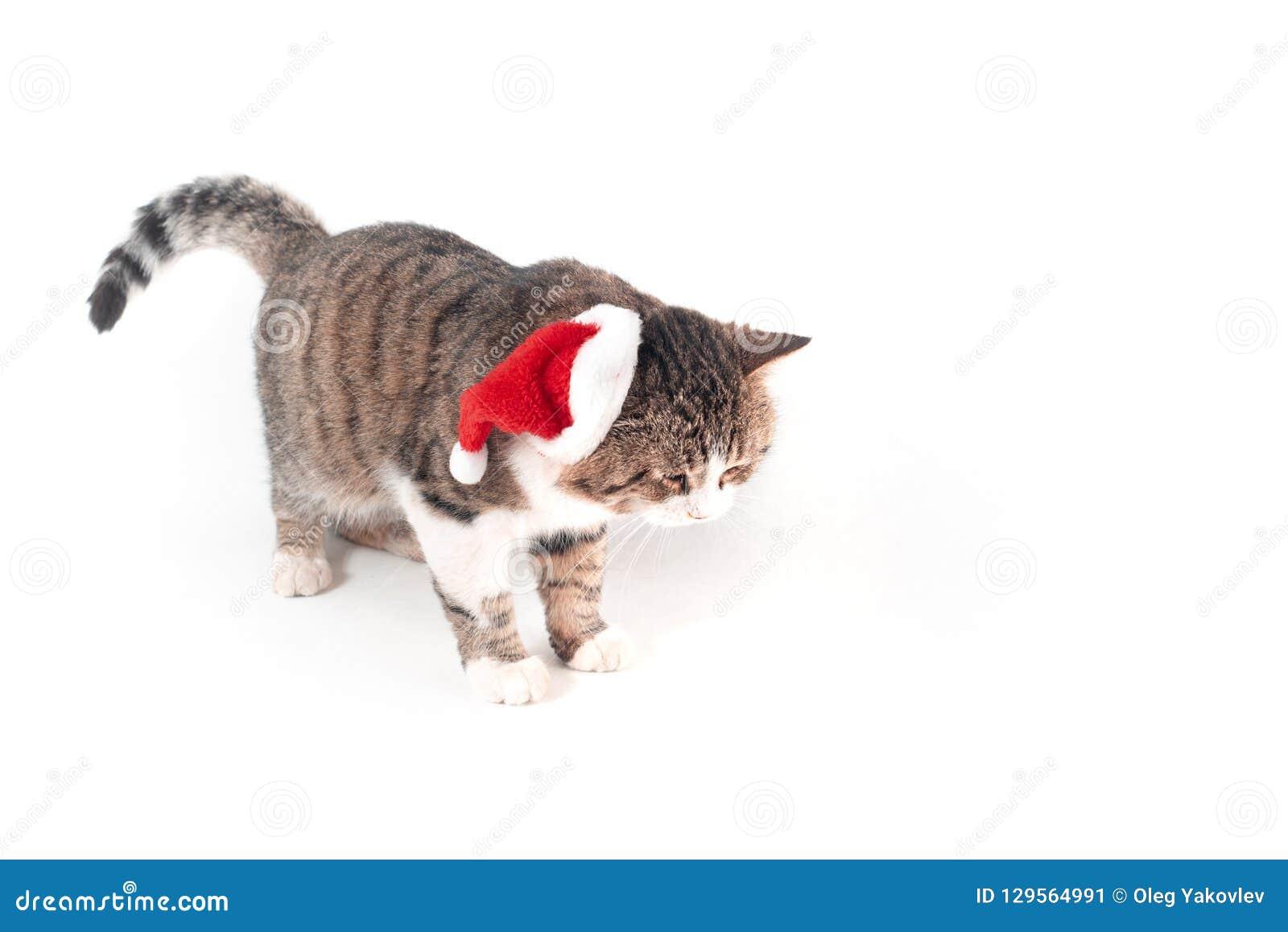 Gatto Con Il Cappello Della Santa Immagine Stock Immagine Di