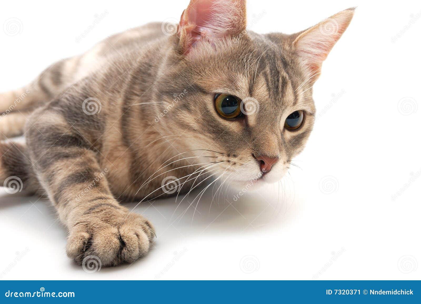 Gatto con lo sguardo molto interessato