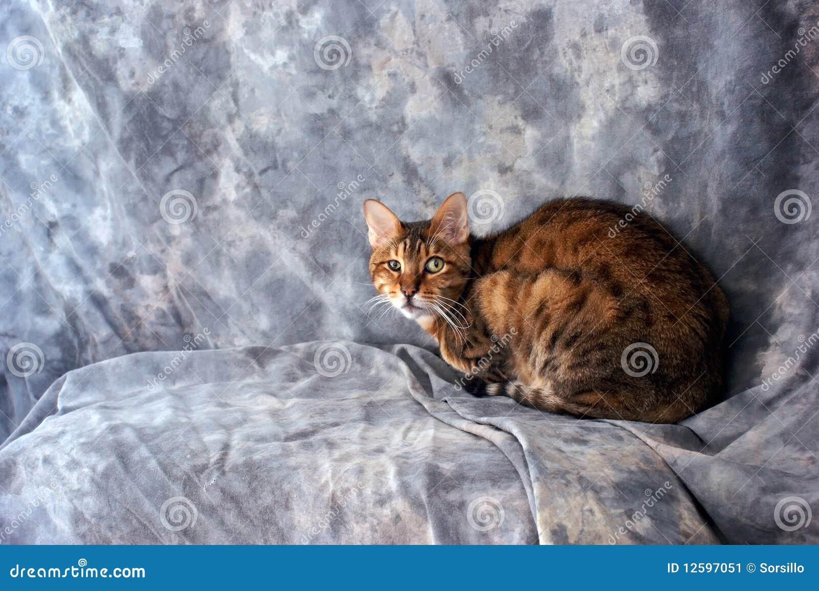 Gatto del bengala che esamina visore immagine stock - Immagine del gatto a colori ...