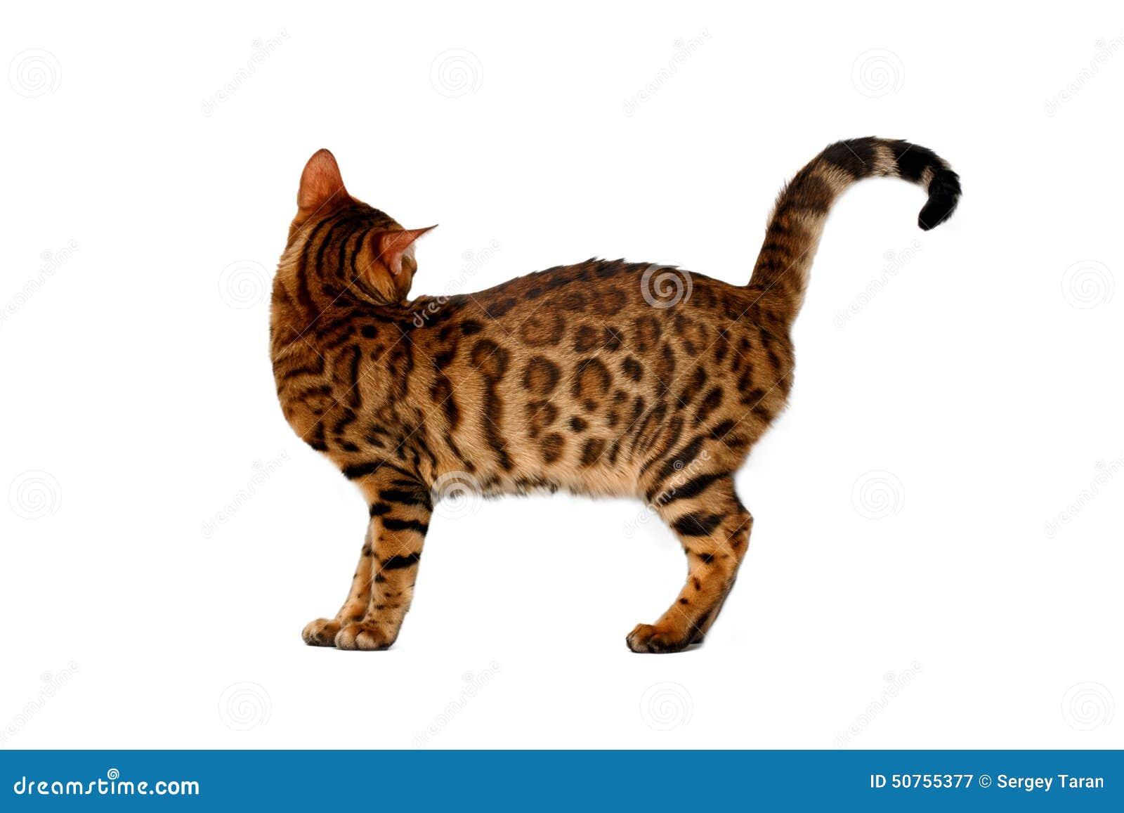 Gatto del bengala girato su bianco fotografia stock - Immagine del gatto a colori ...