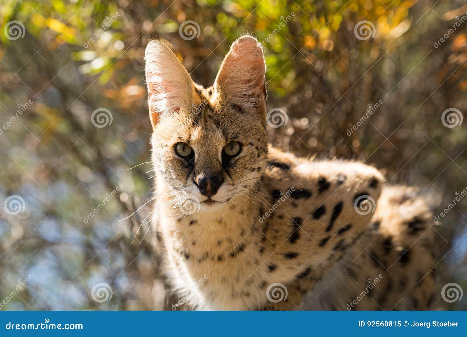 Gatto del Serval nell albero