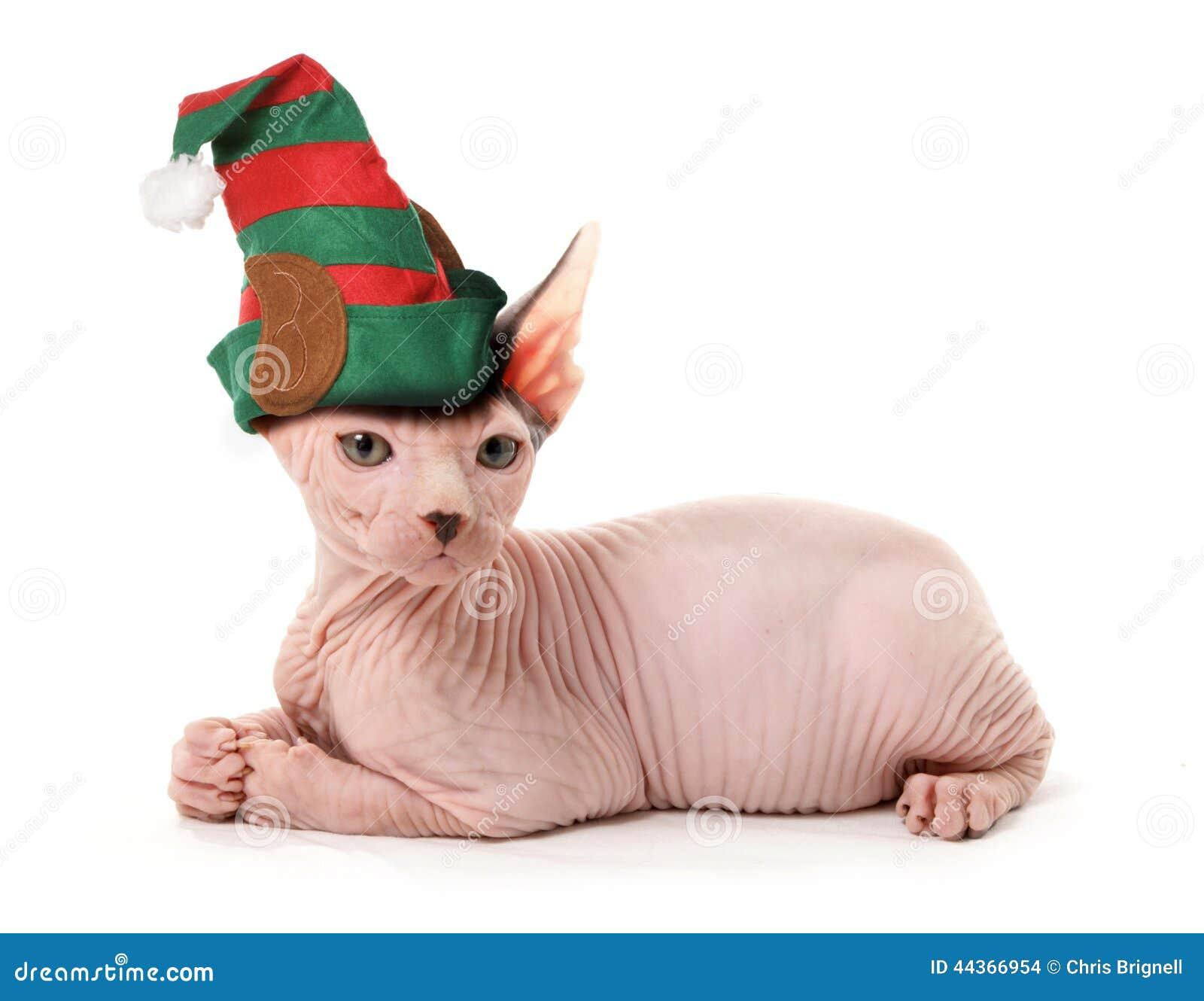 Gatto dell elfo della Sfinge
