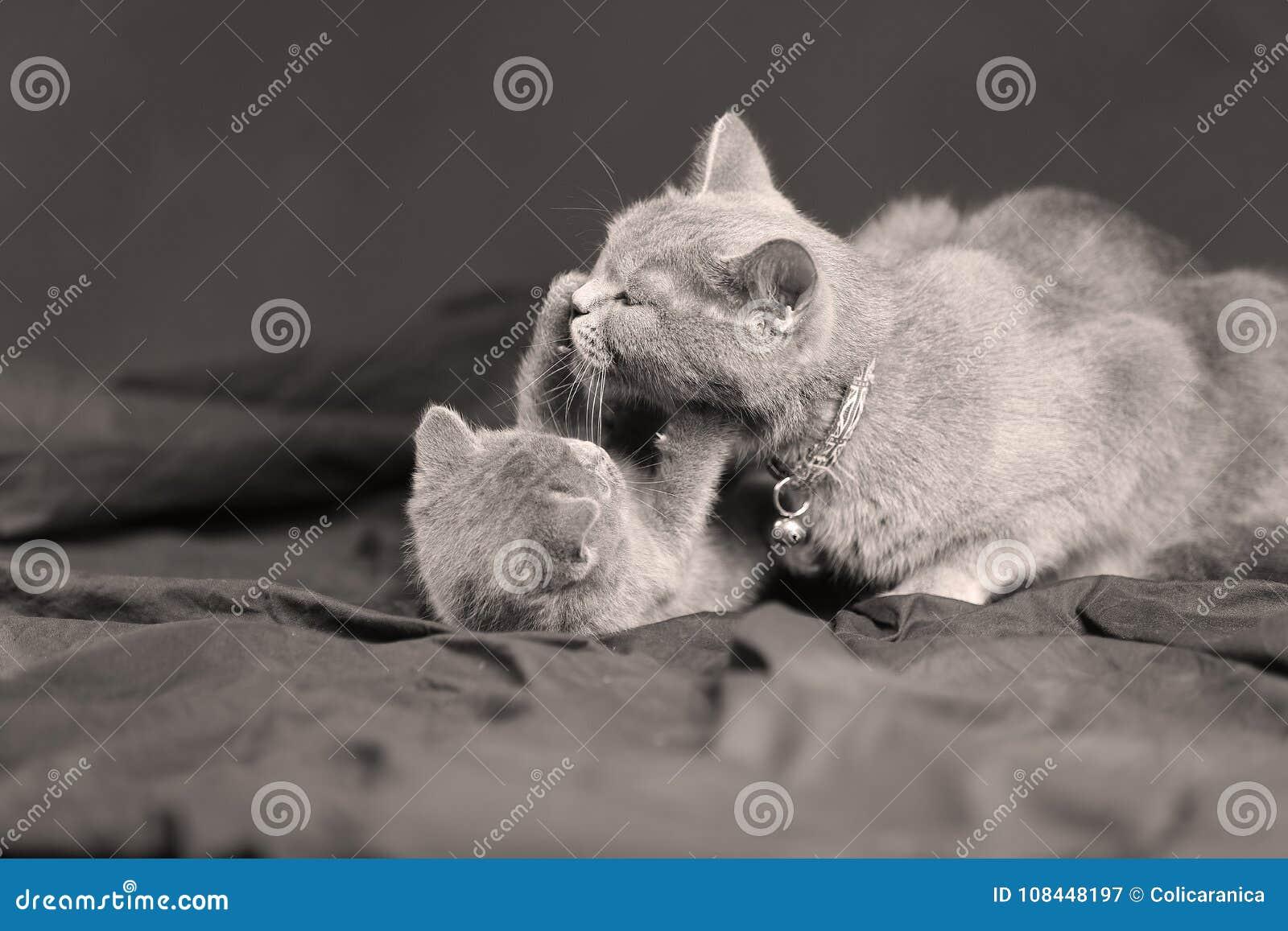 Gatto della madre che gioca con il suo gattino