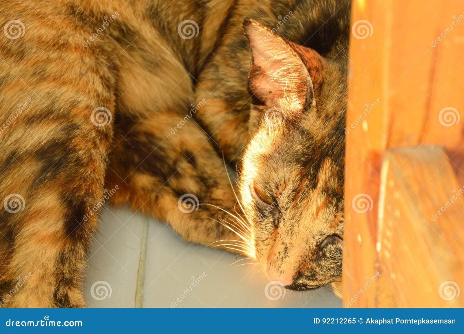 Gatto di brown che mette su pavimentazione in piastrelle dietro la