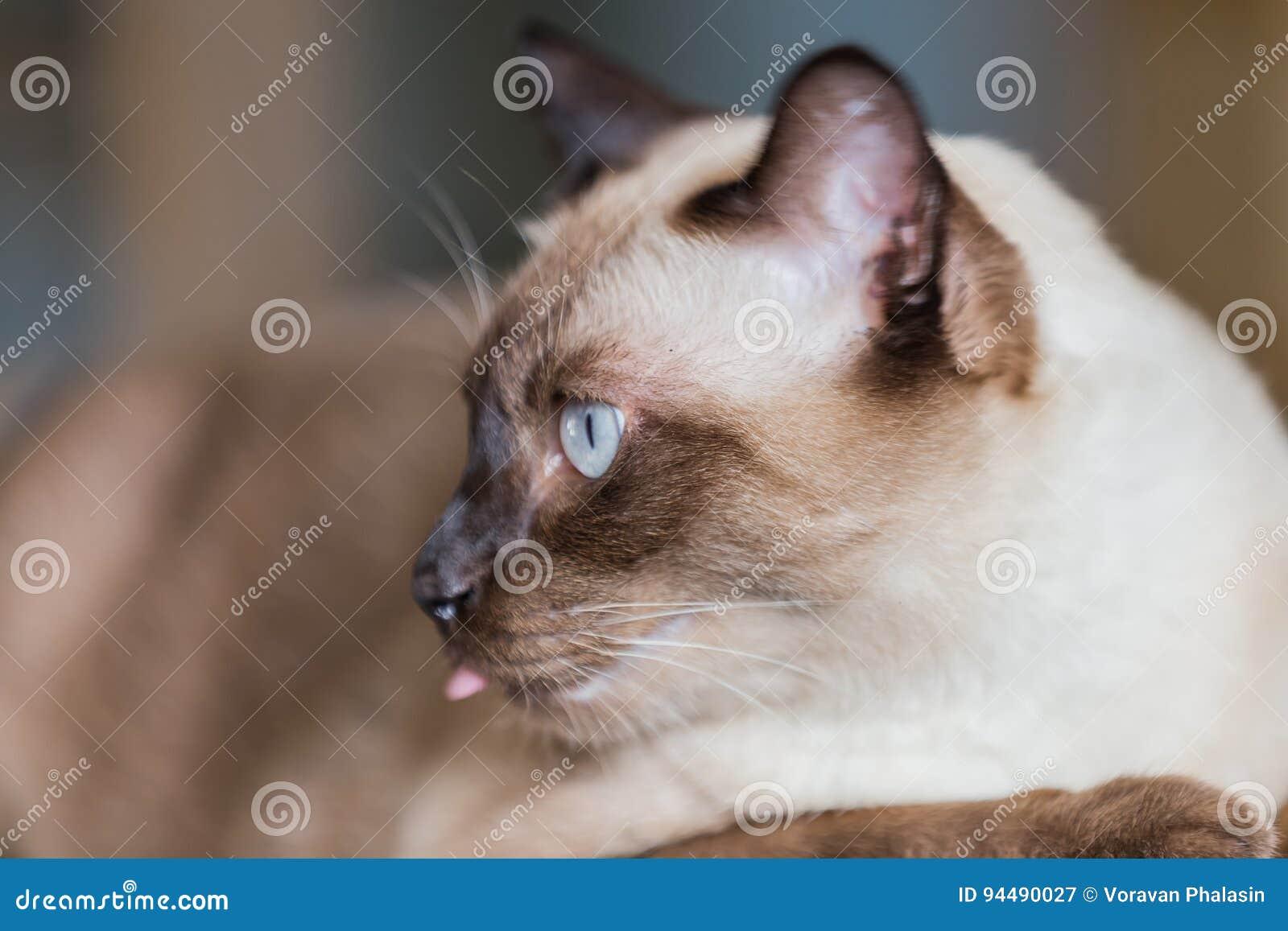 Gatto Di Marrone Di Guarnizione O Del Gatto Siamese Con Gli Occhi