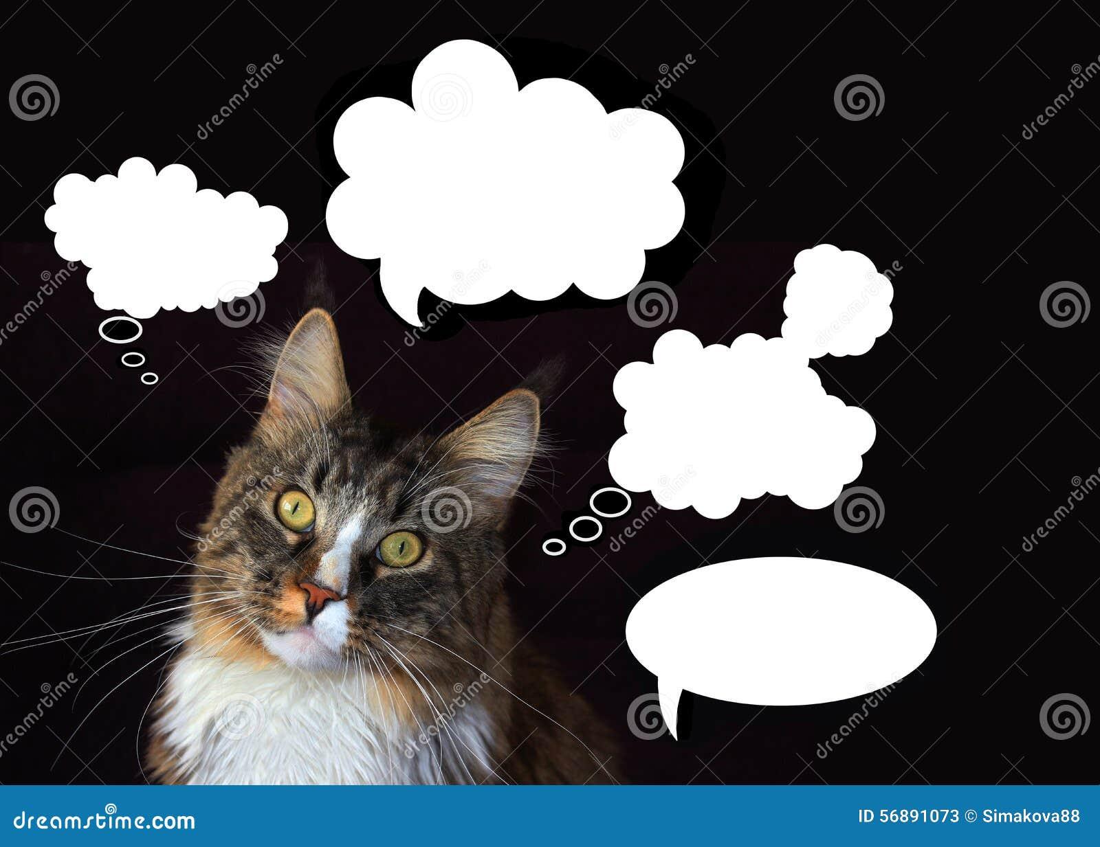 Gatto di procione lavatore della Maine con nuvole dei pensieri su un fondo nero