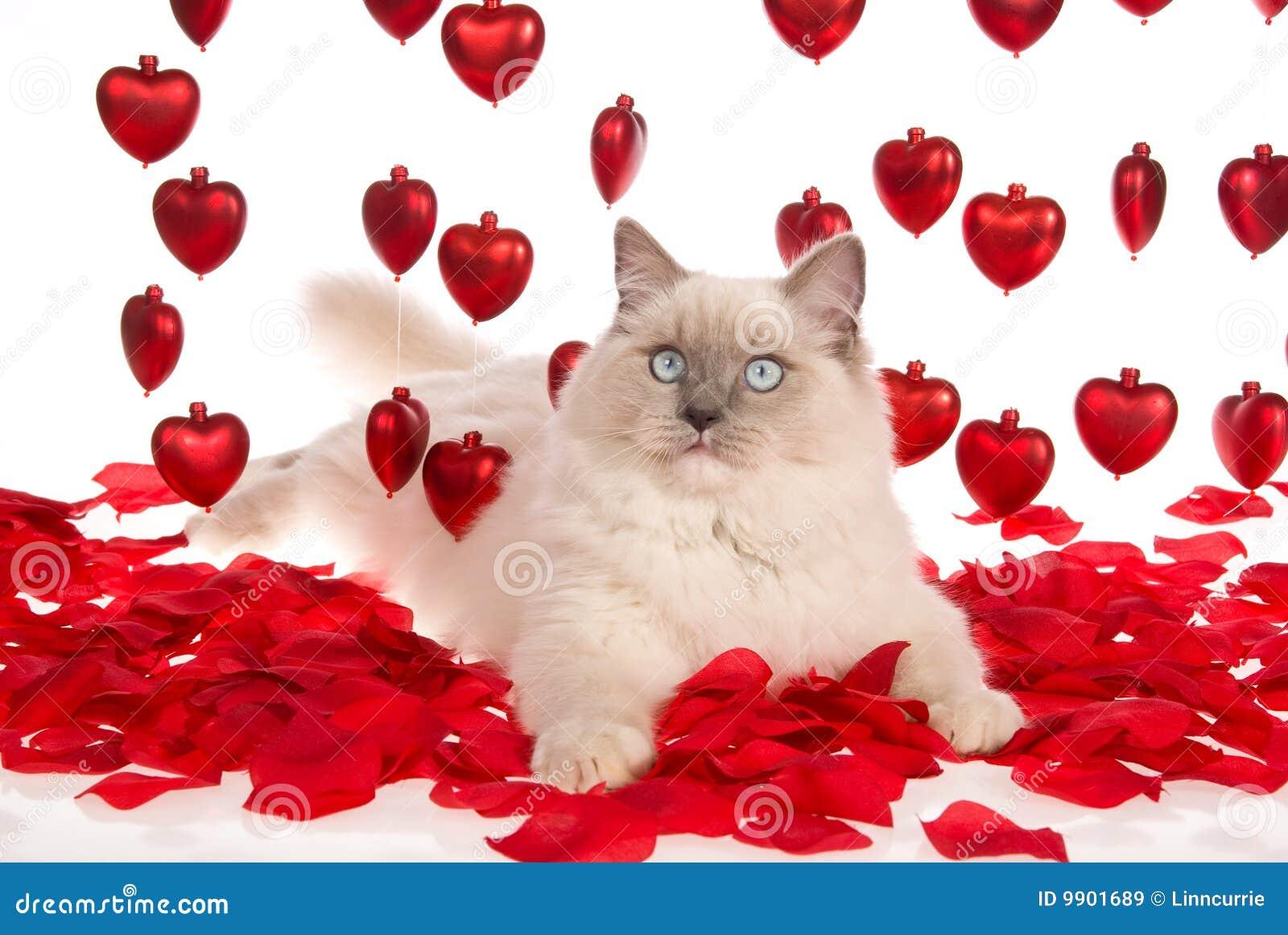 Gatto di ragdoll con i petali di rosa rossi ed i cuori for Immagini di cuori rossi