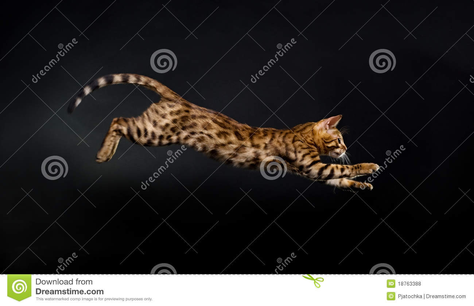 Gatto di salto