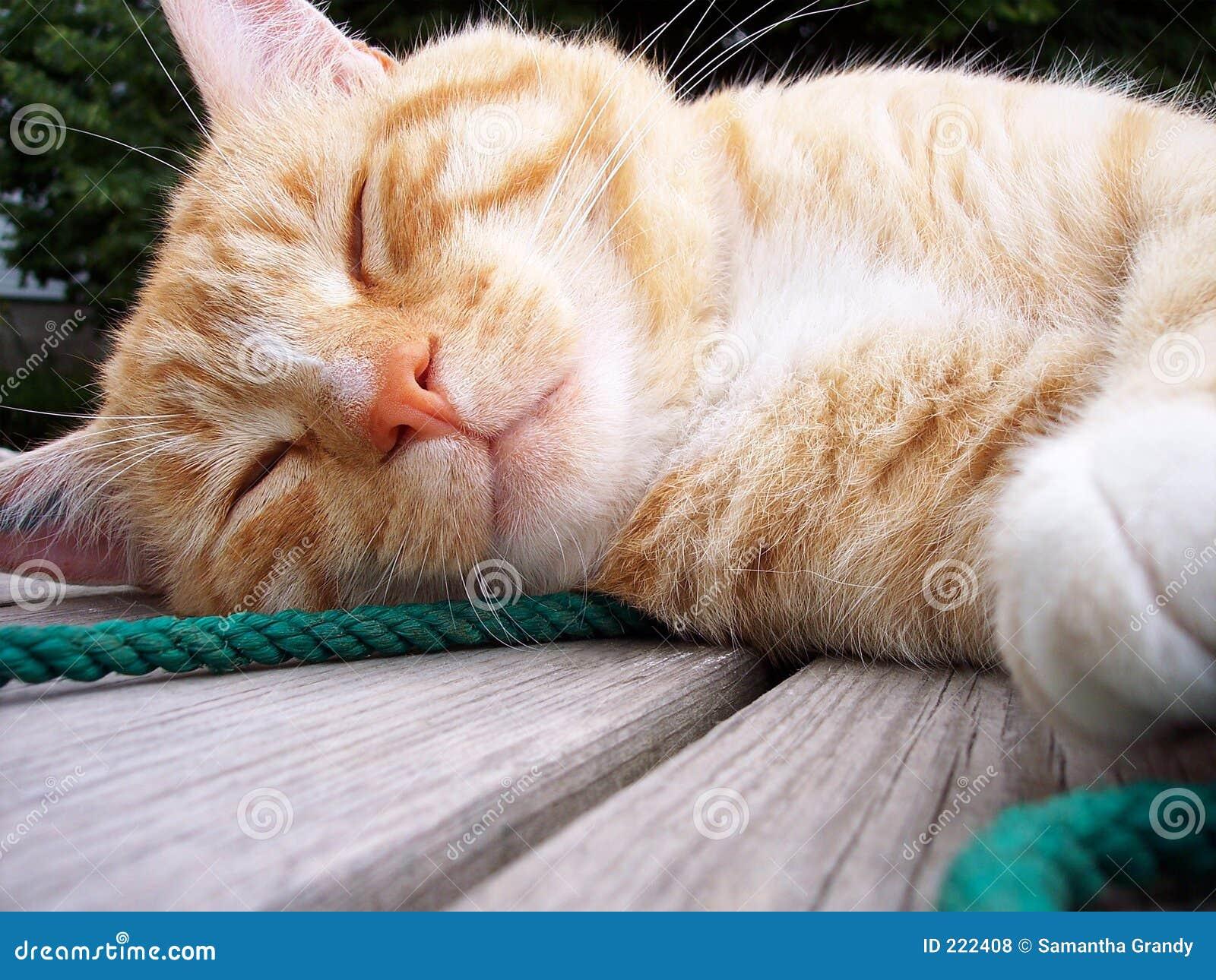 Gatto di sonno