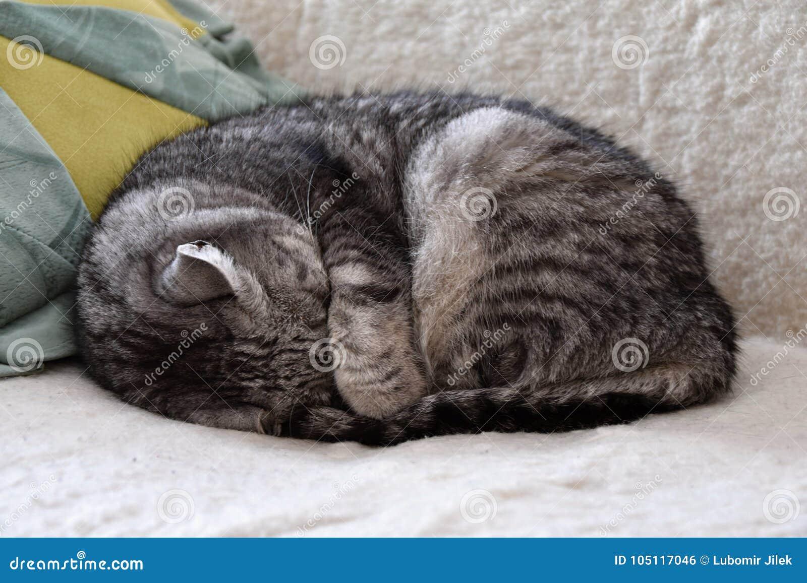 Gatto di soriano che dorme sullo strato, nascondente il suo di sotto capo  la sua
