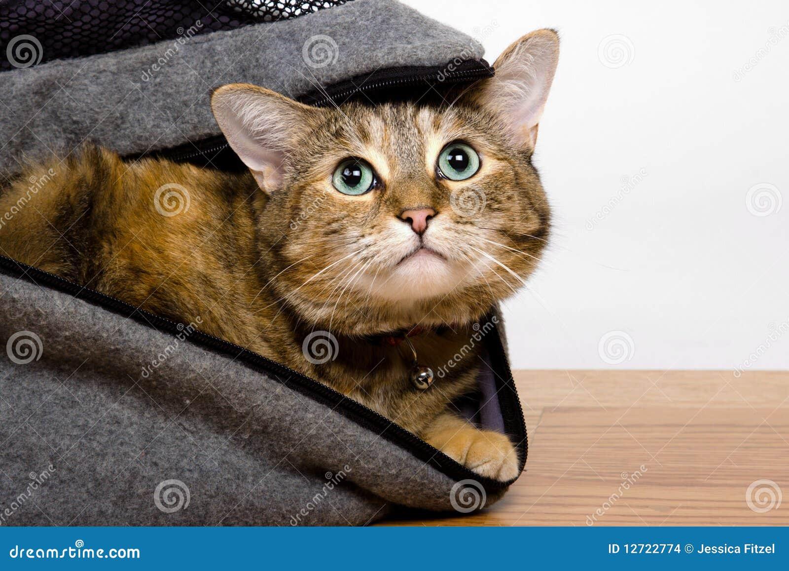Gatto di Tabby