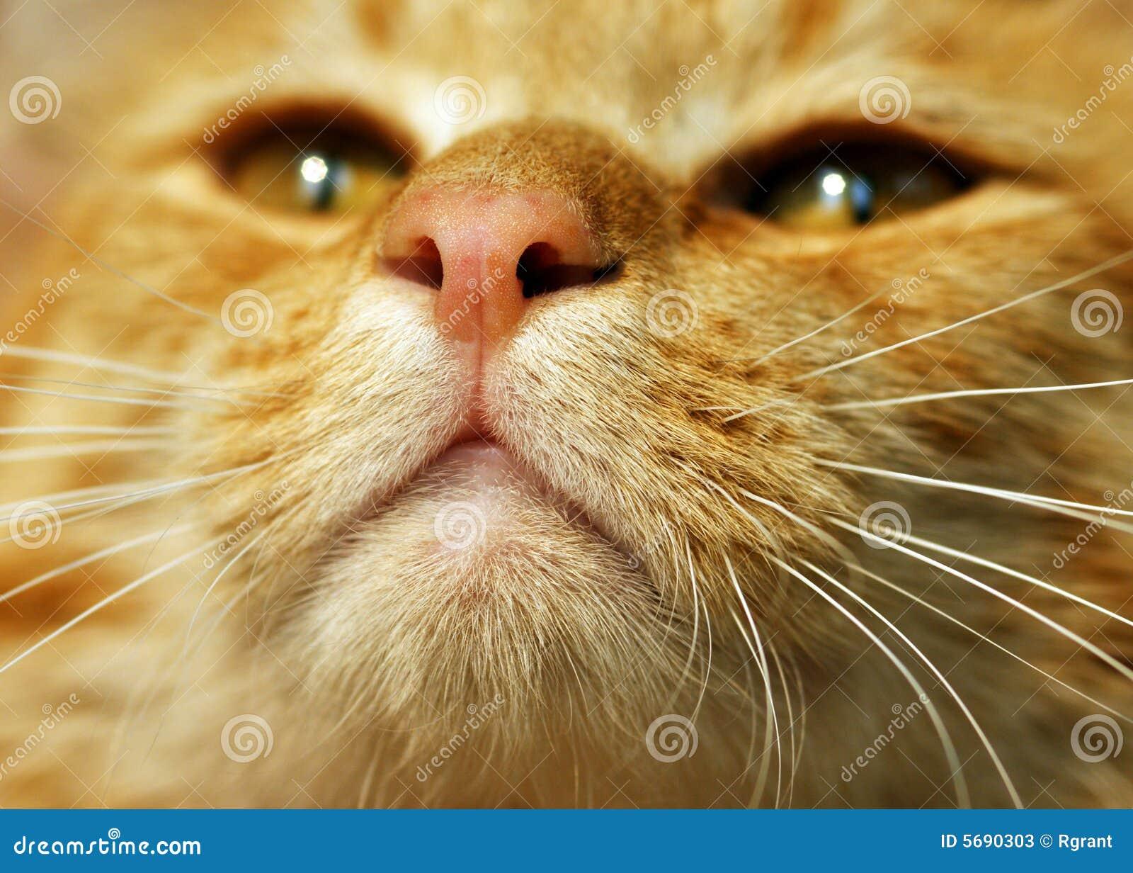 Gatto di Tabby arancione