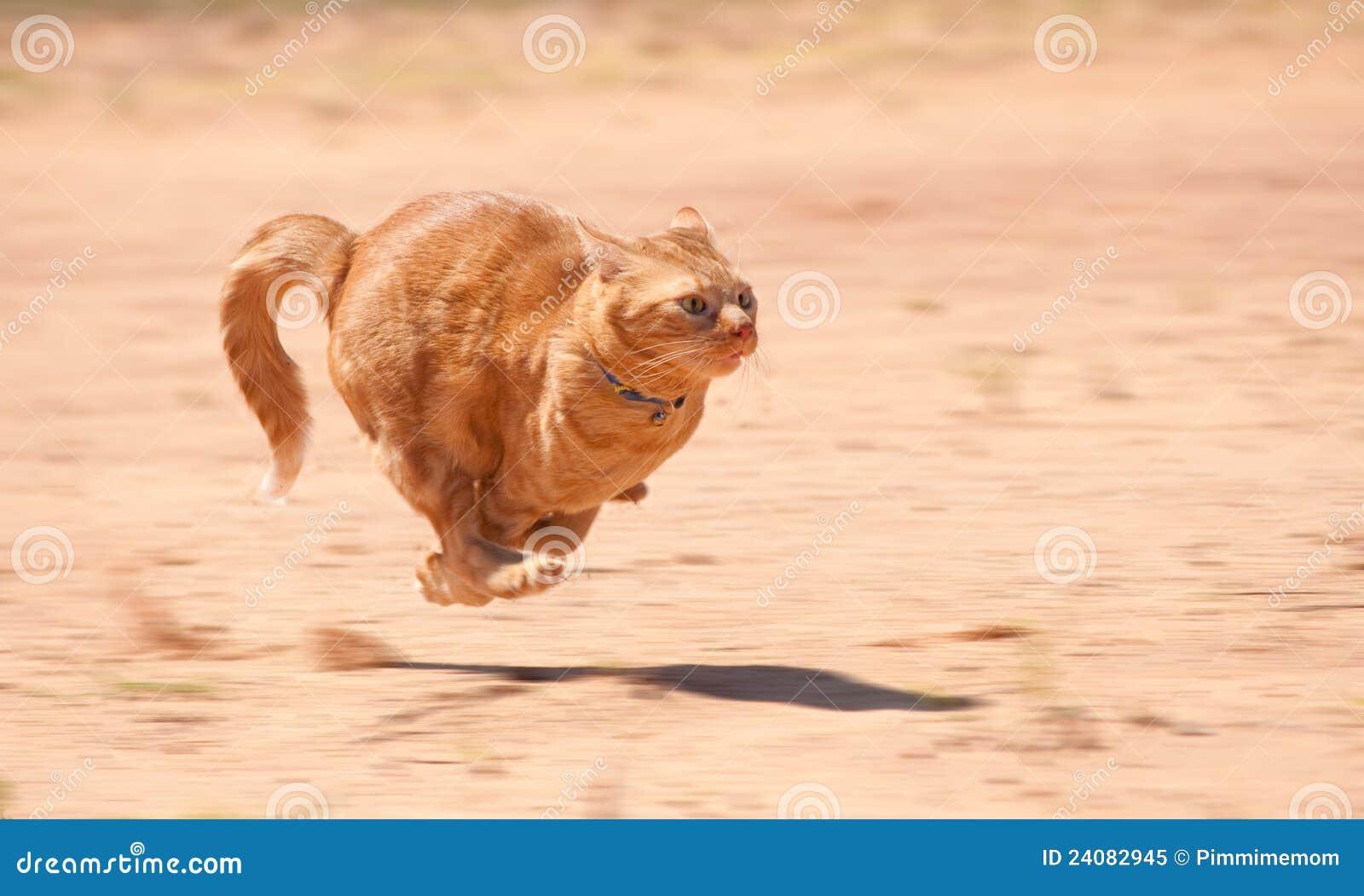 Gatto di tabby arancione che esegue velocità completa