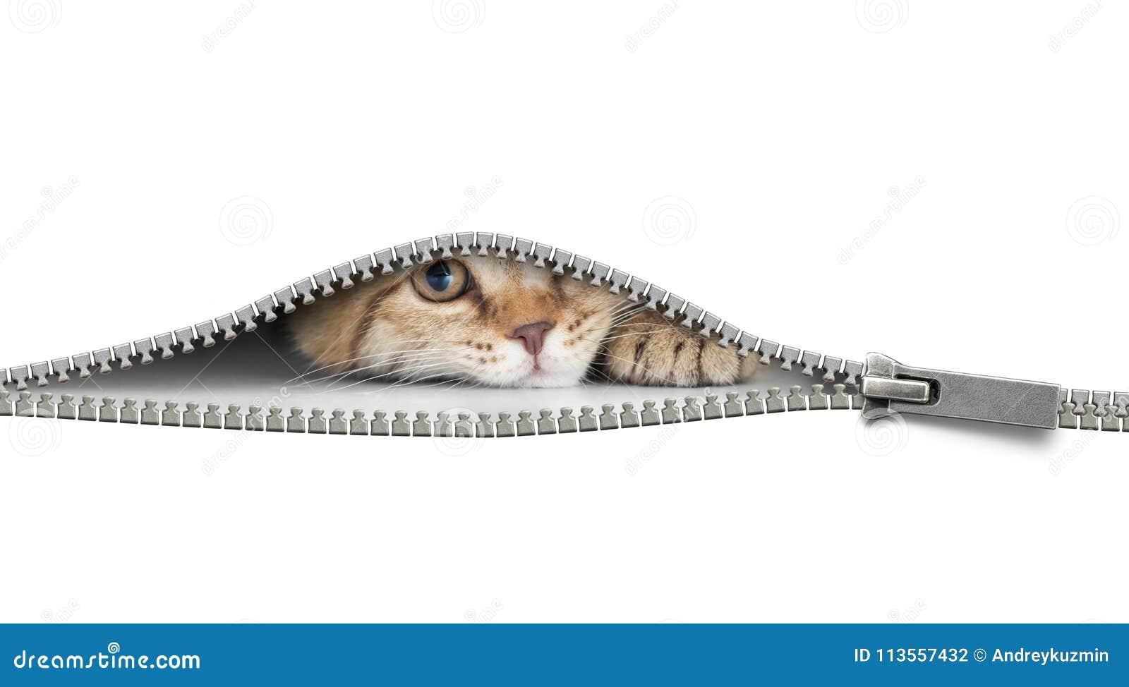 Gatto divertente dietro la chiusura lampo aperta isolata su bianco