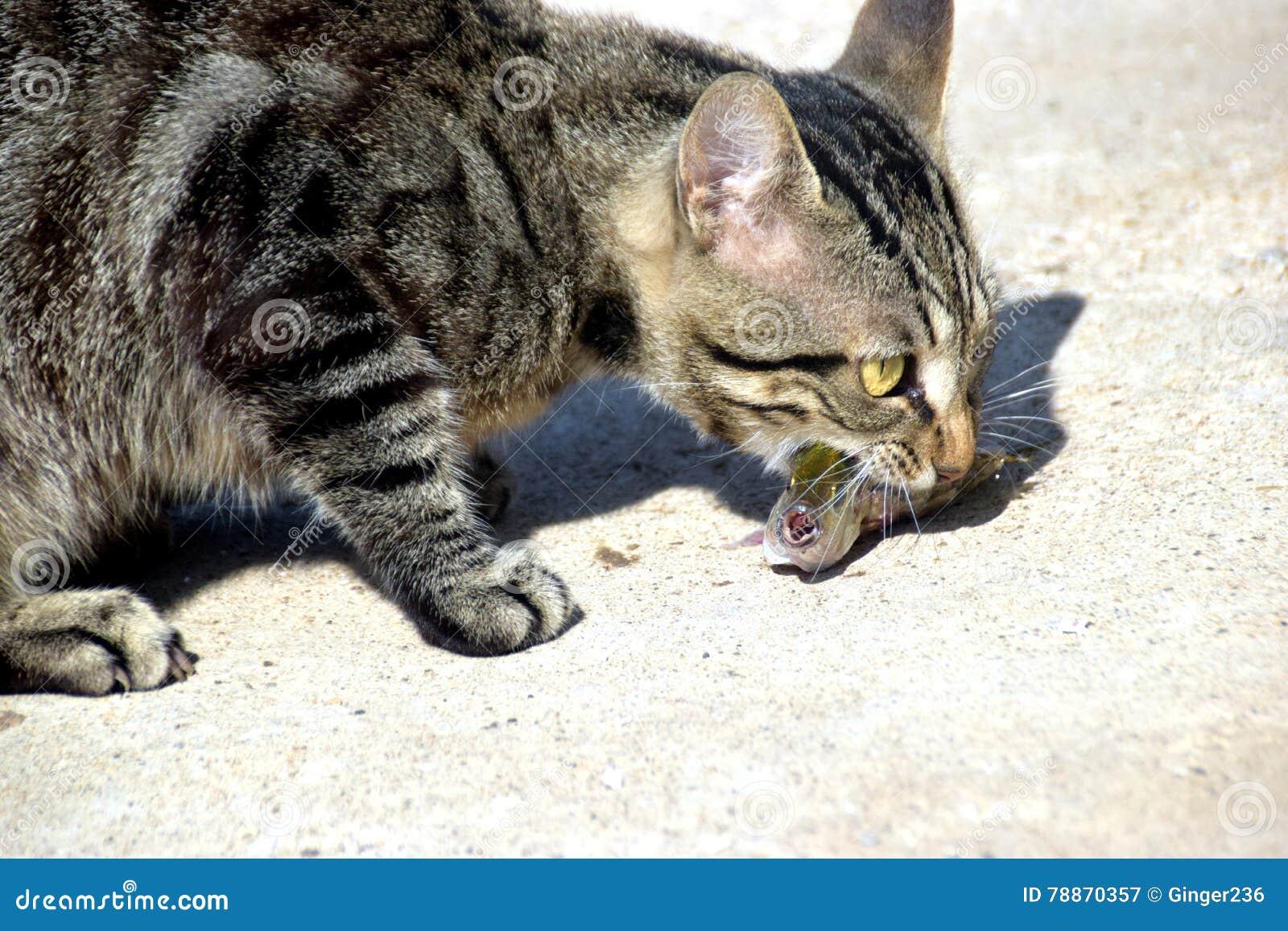 Gatto Domestico Che Mangia Pesce Immagine Stock Immagine Di Gatti