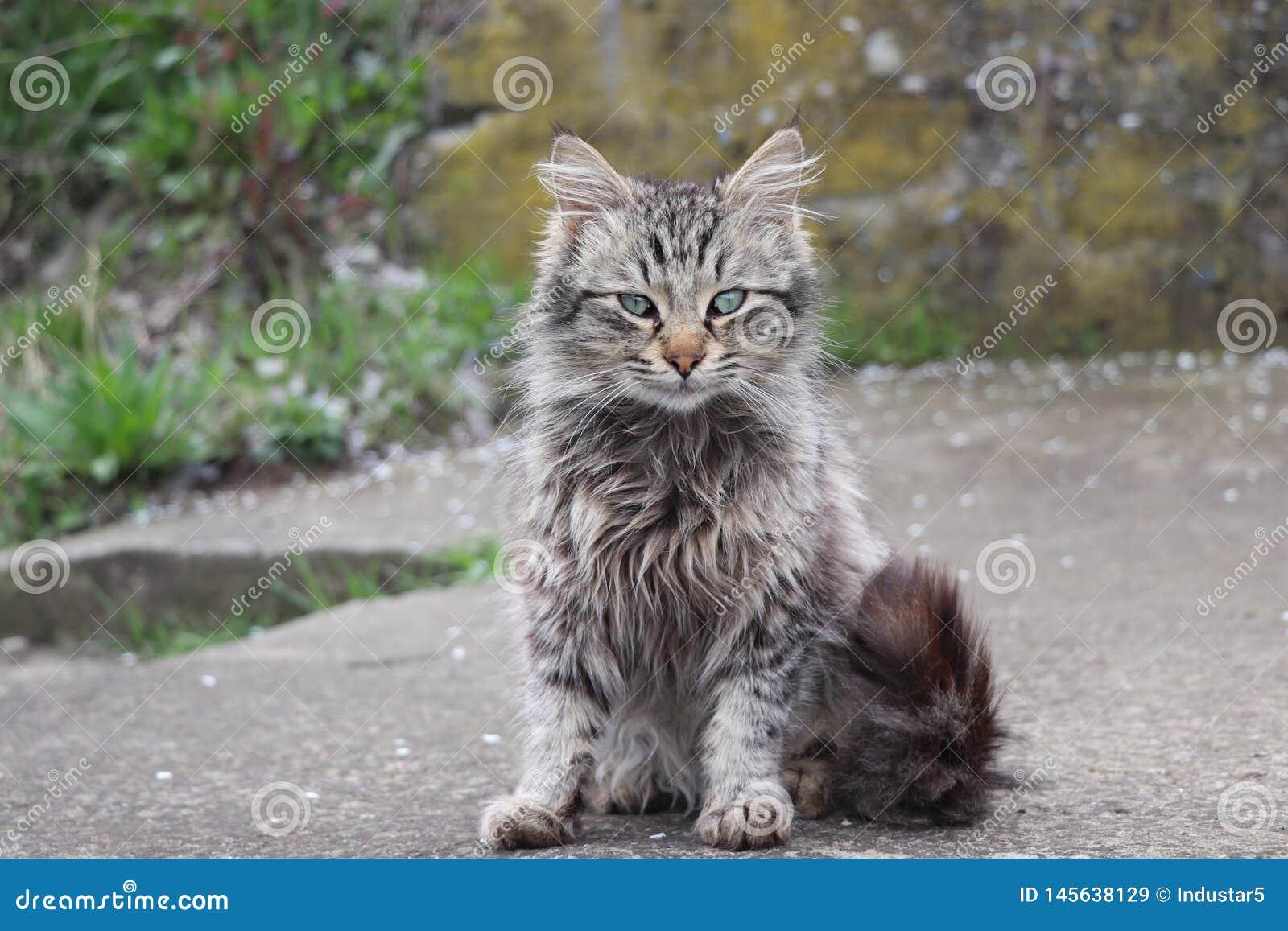 Gatto domestico con una coda lunga