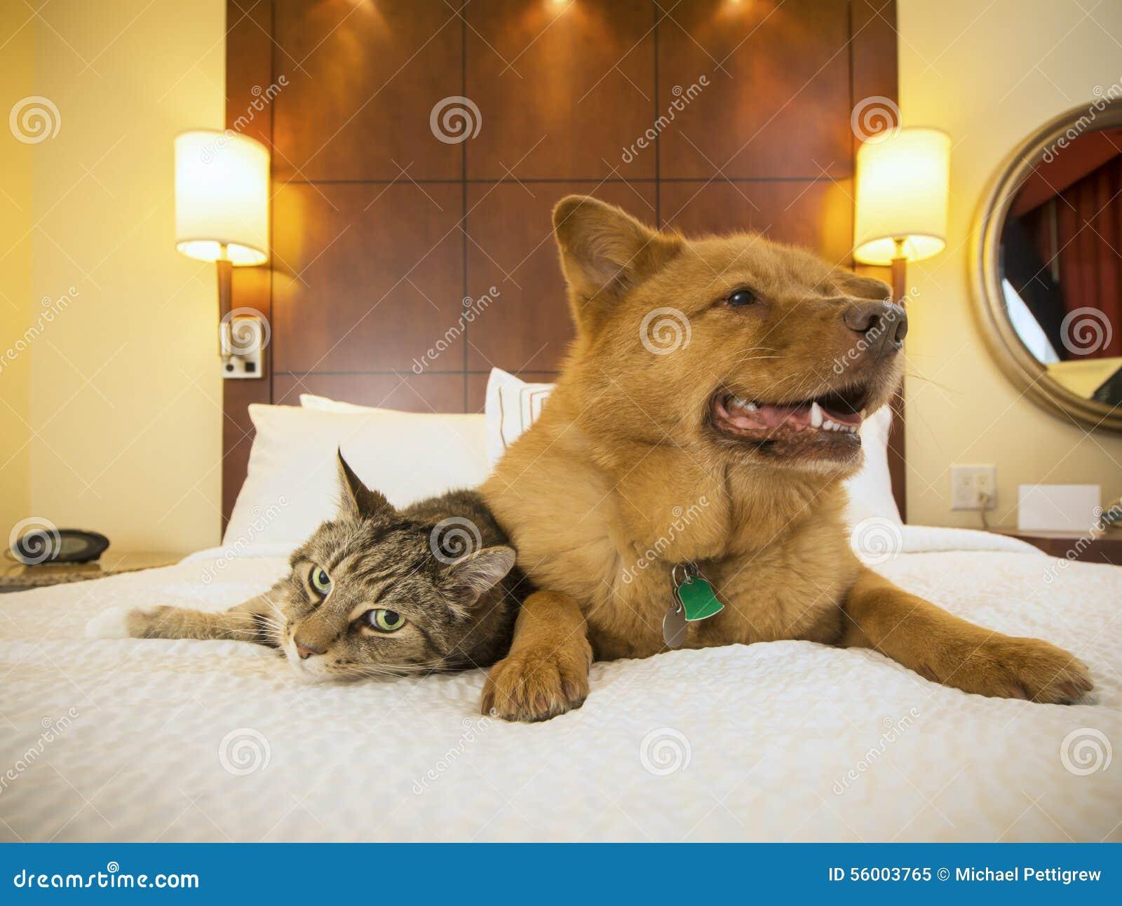 Gatto e cane insieme nella camera da letto dell 39 hotel for Cane nella cabina dell aereo