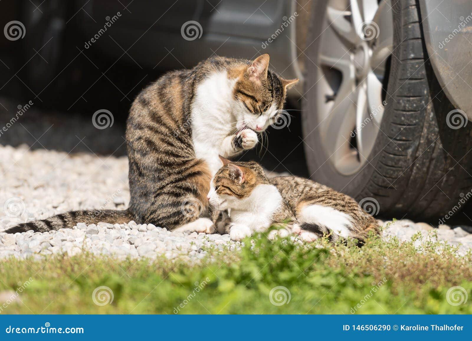 Gatto e gattino sotto l automobile