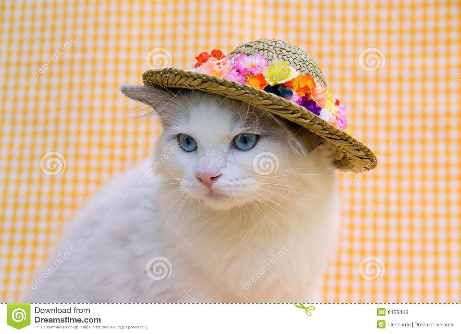 Gatto Grazioso Sveglio Di Ragdoll Con Un Cappello Immagine Stock