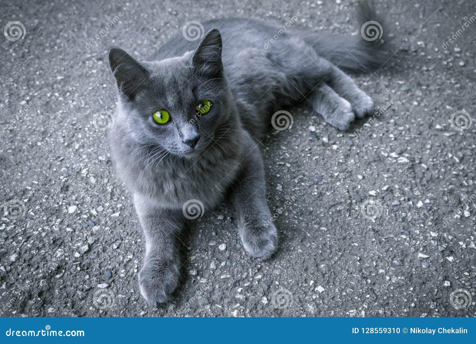 Gatto grigio con gli occhi verdi