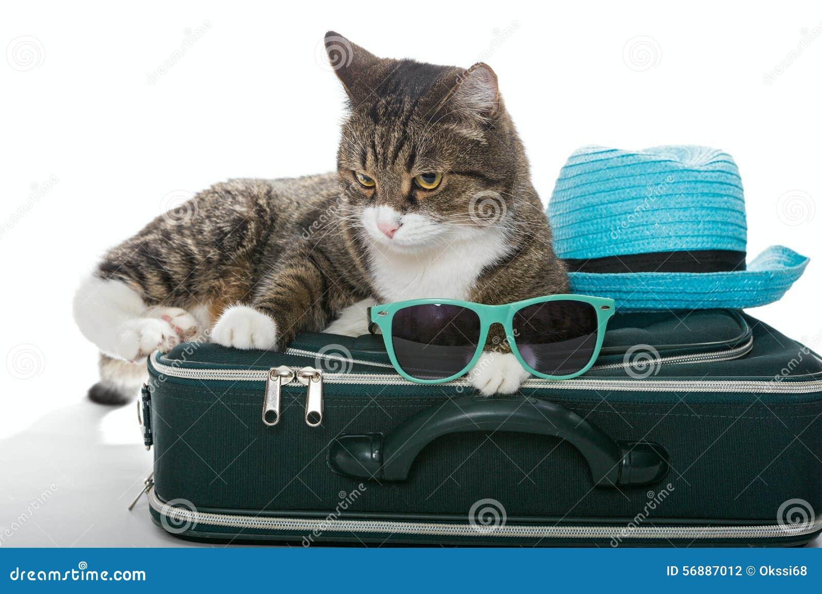 Gatto grigio serio su una valigia