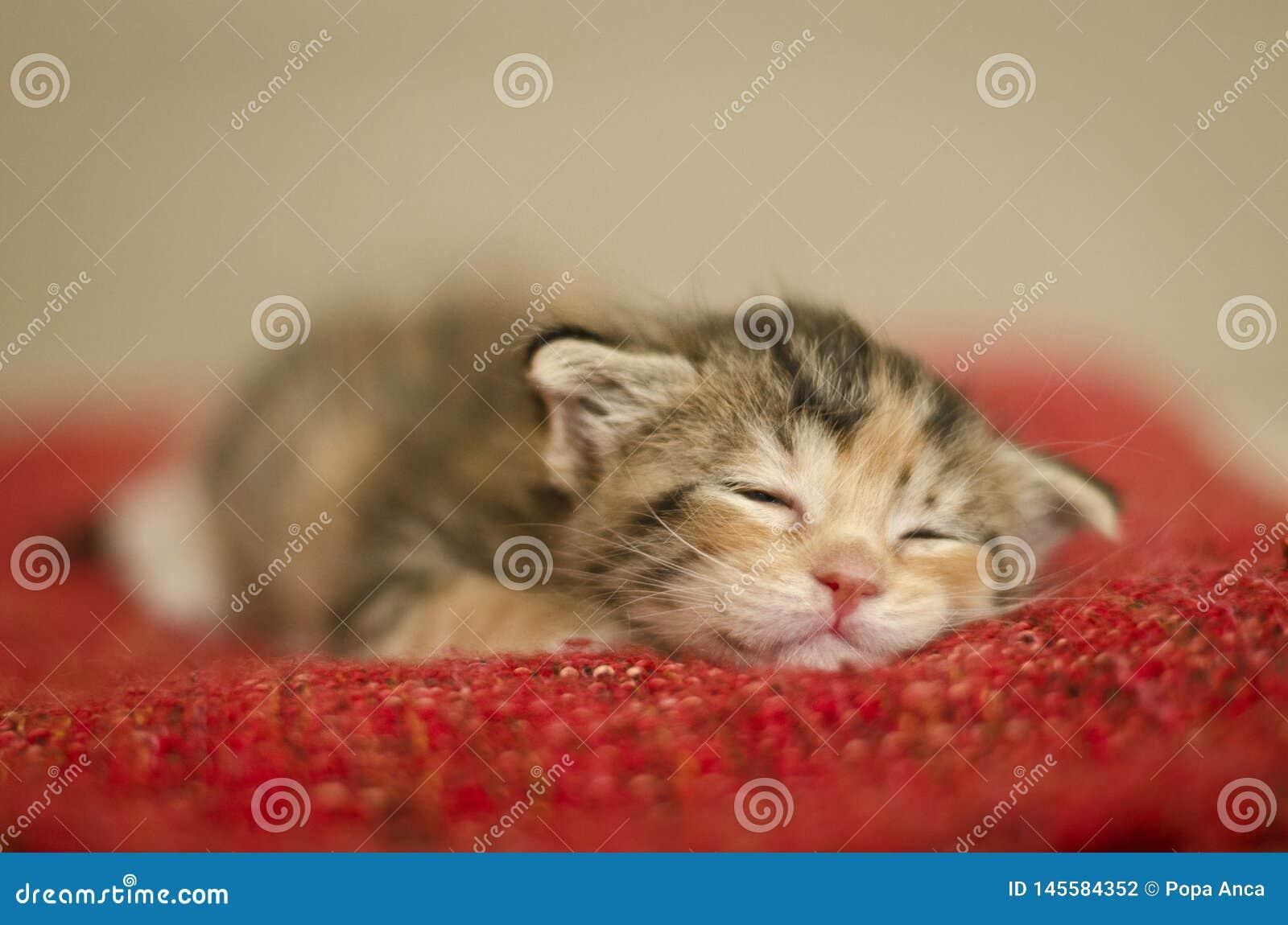 Gatto minuscolo del bambino che dorme su una coperta rossa