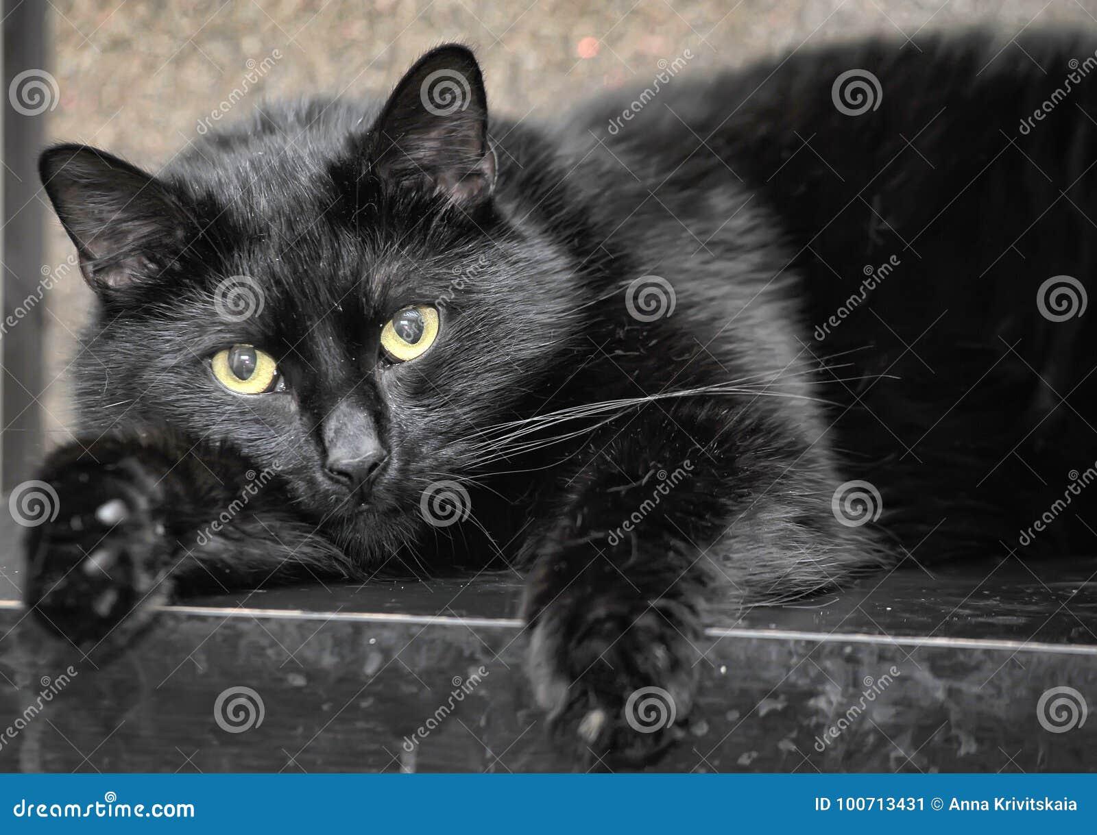grasso nero vecchio micio