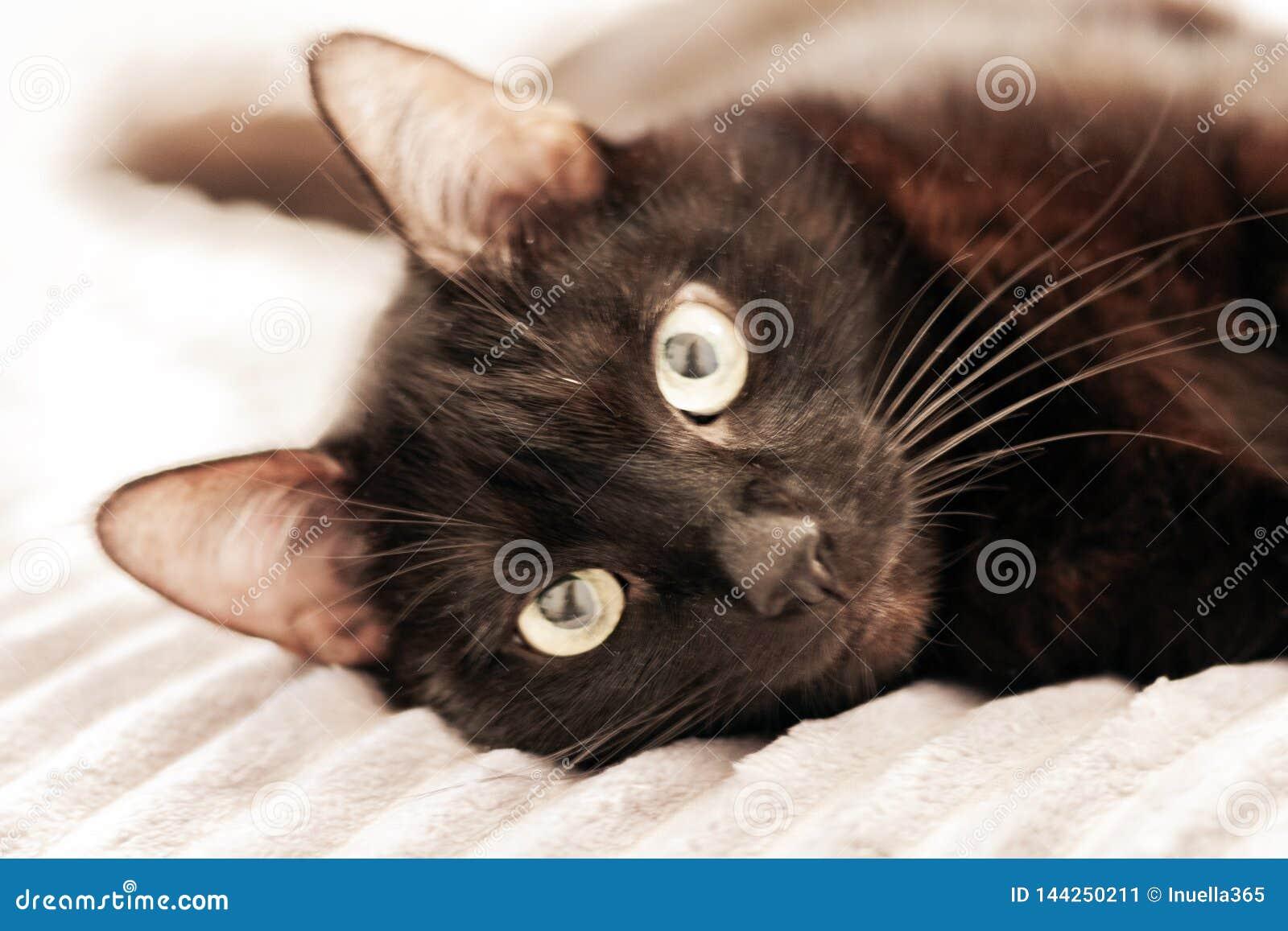 Gatto nero che si trova sulla copertura grigia della pelliccia sul letto
