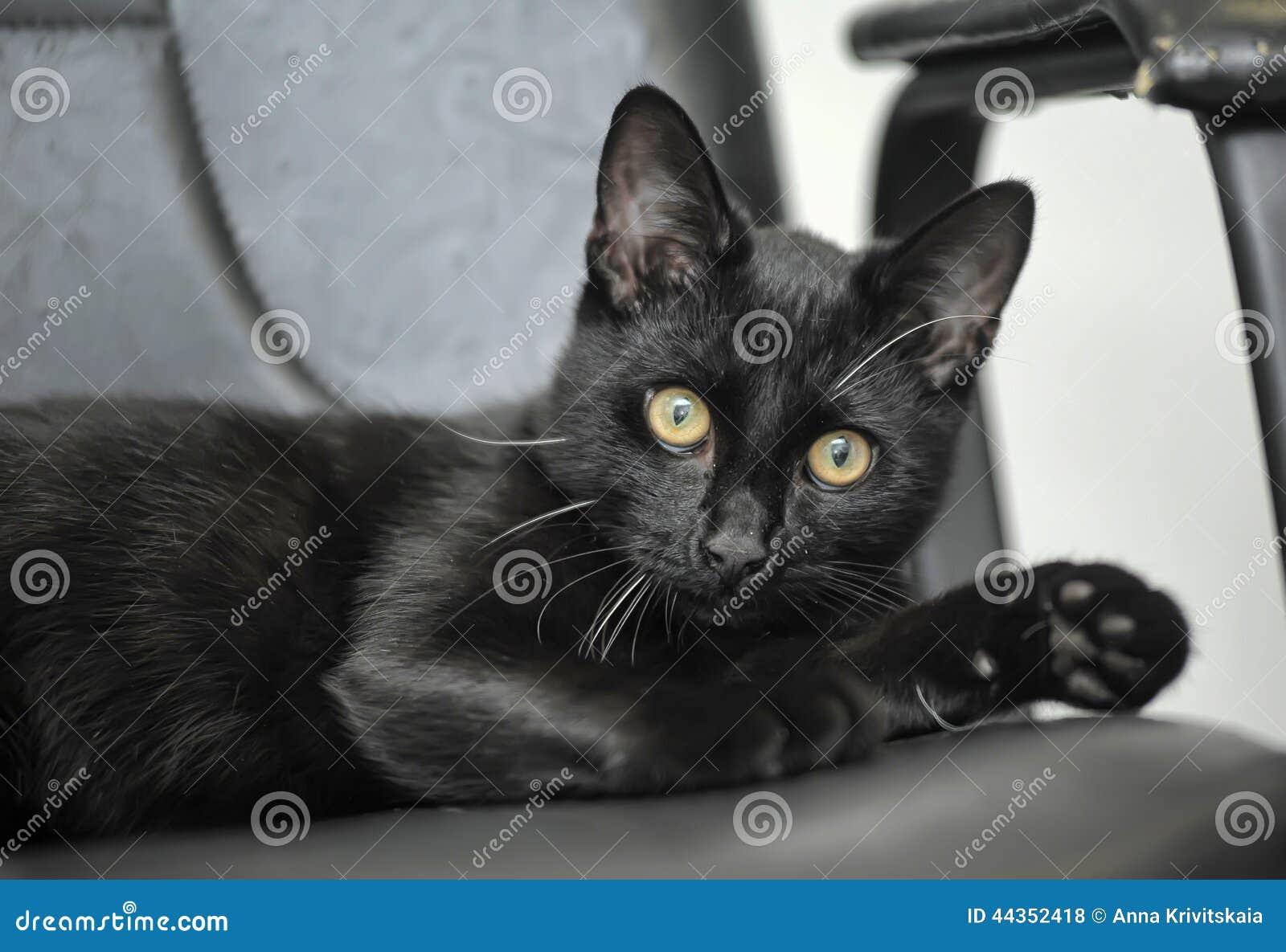 Gatto nero con gli occhi gialli