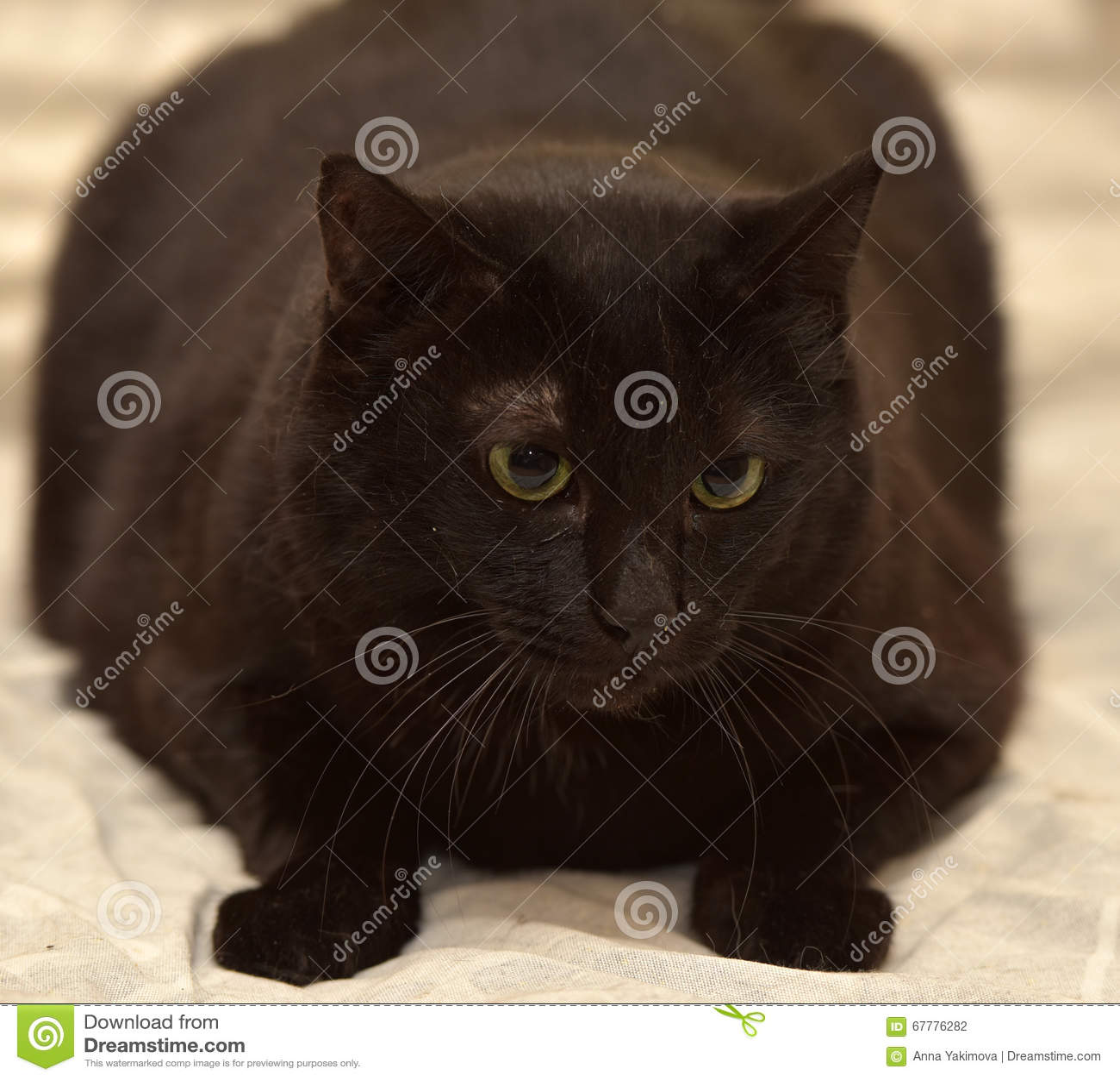 Gratis grande grasso nero micio