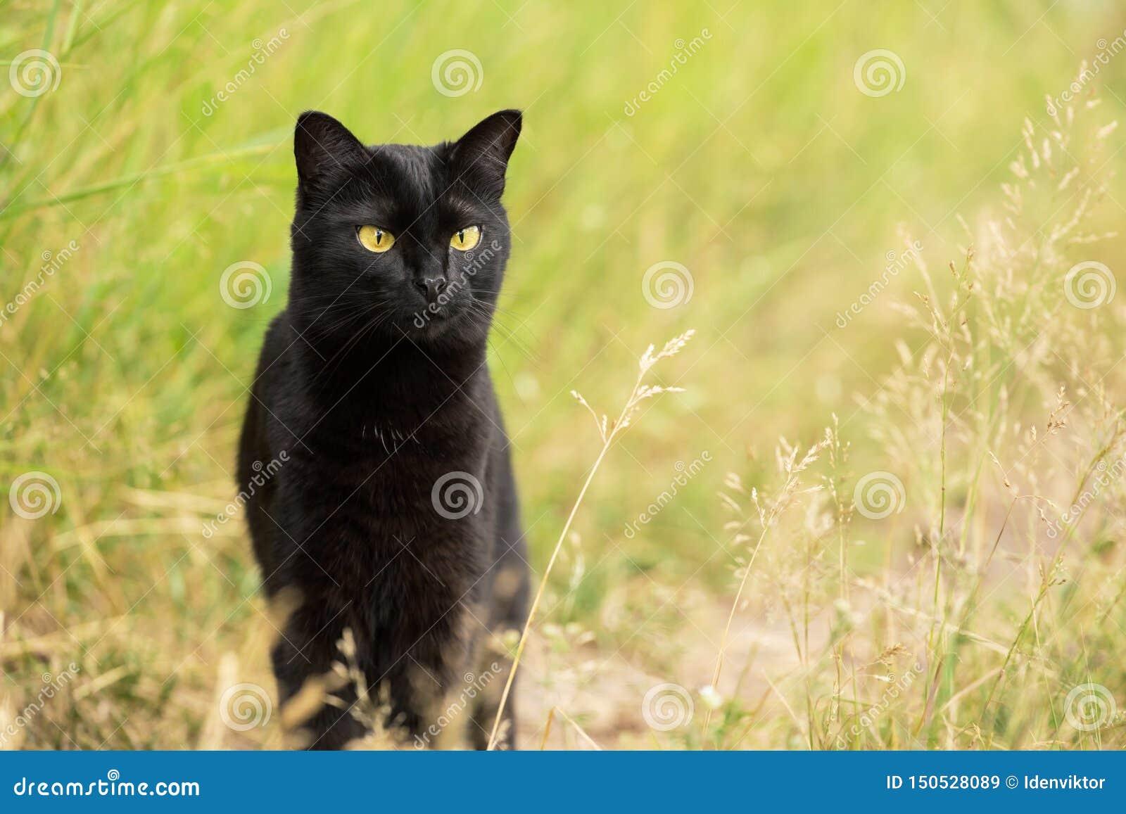 Gatto nero serio di Bombay all aperto che cerca nell erba in natura, spazio della copia