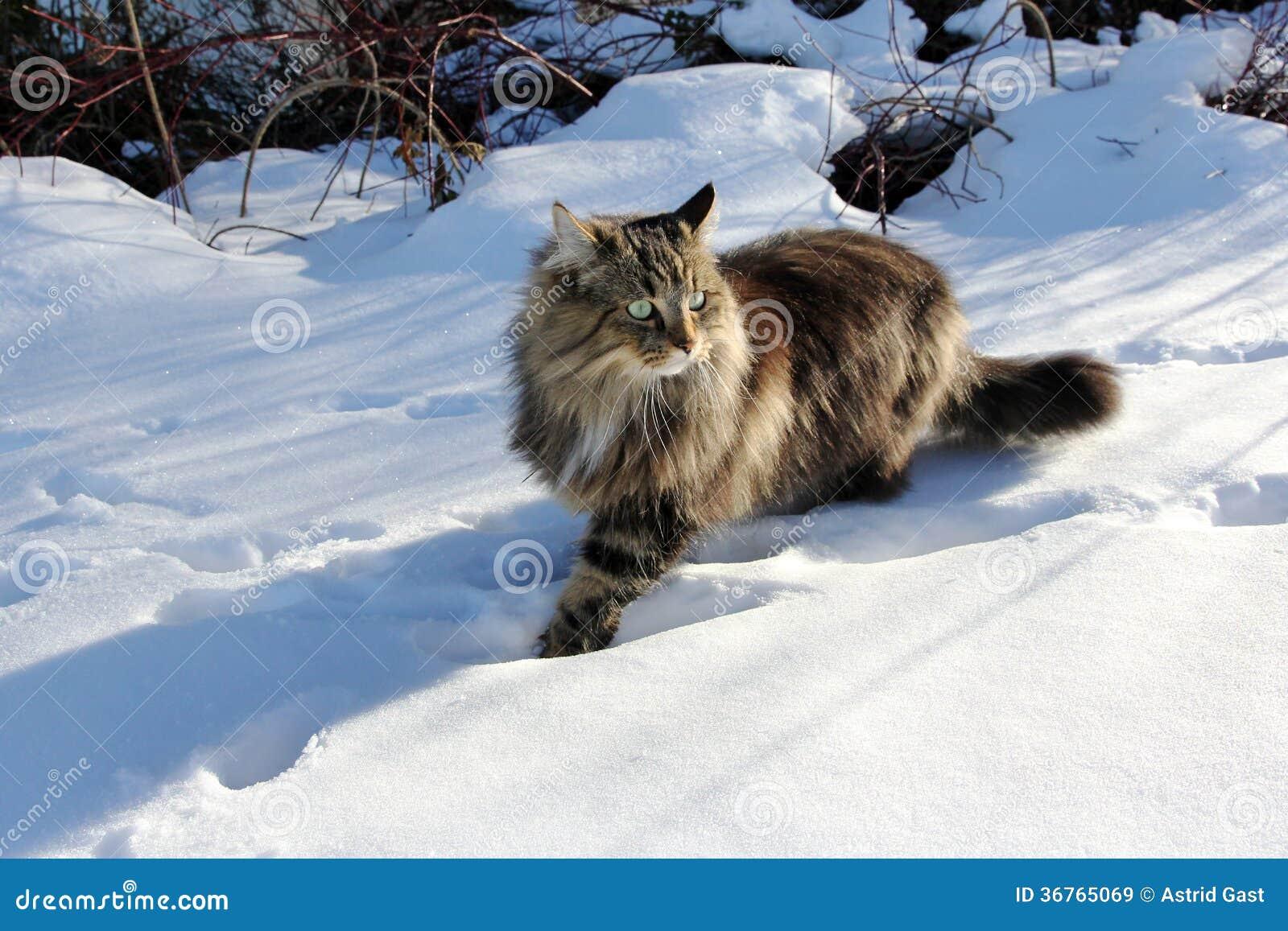 Gatto norvegese della foresta immagini stock libere da for Gatto della foresta norvegese