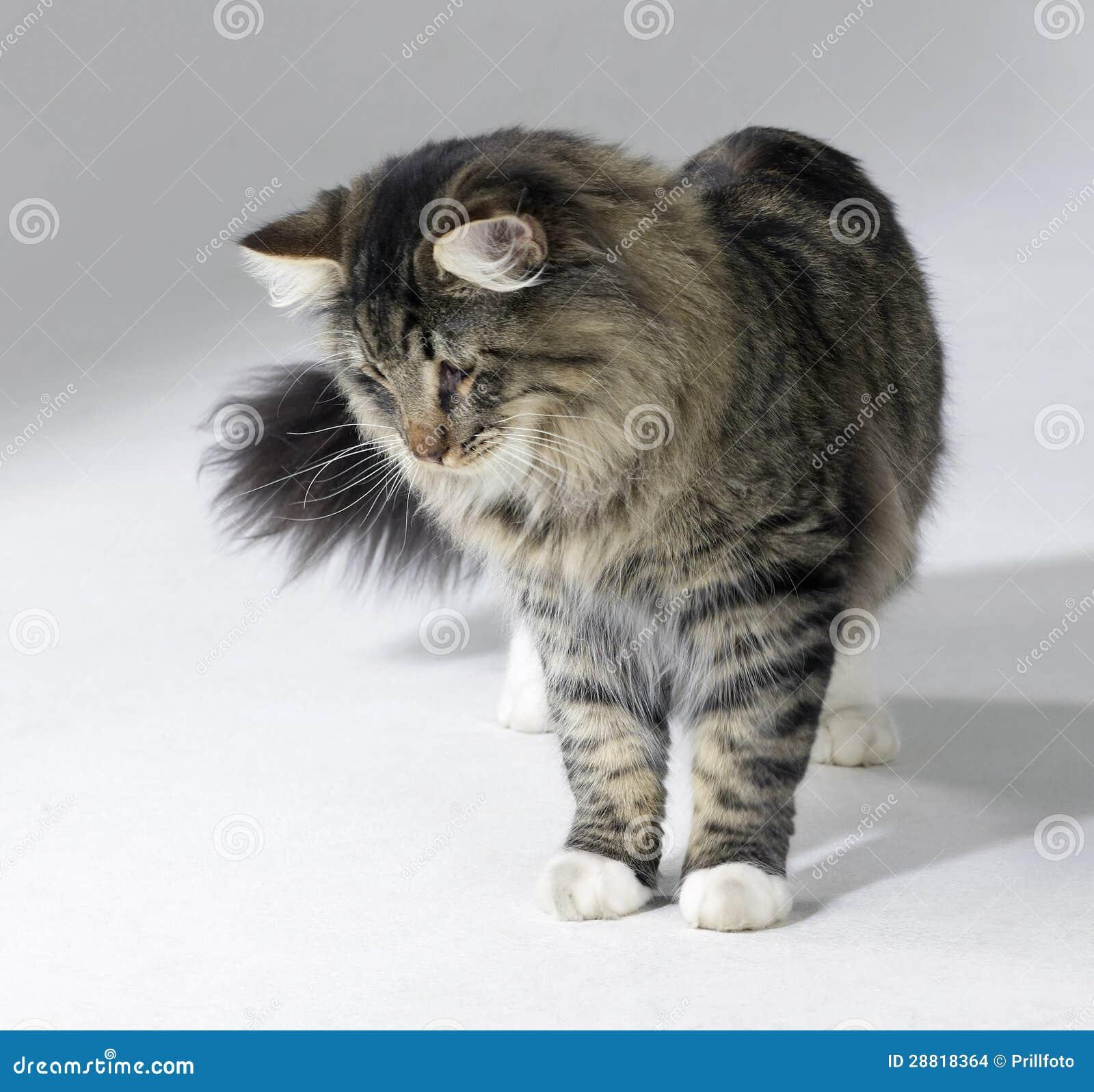 Gatto norvegese della foresta del soriano fotografia stock for Gatto della foresta norvegese