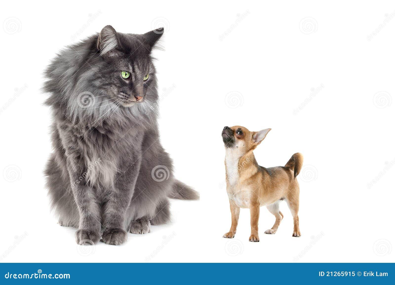Gatto norvegese della foresta e un cane della chihuahua for Gatto della foresta norvegese