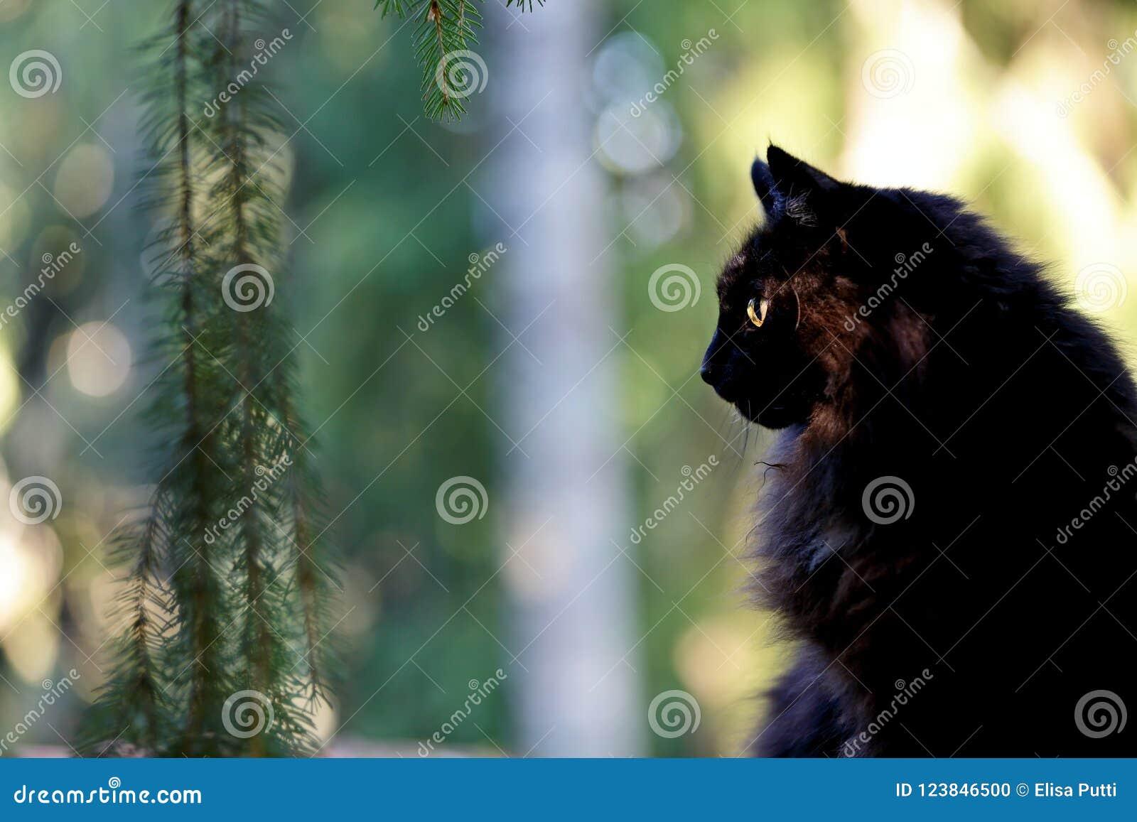 Gatto norvegese nero della foresta in foresta fotografia for Gatto della foresta norvegese