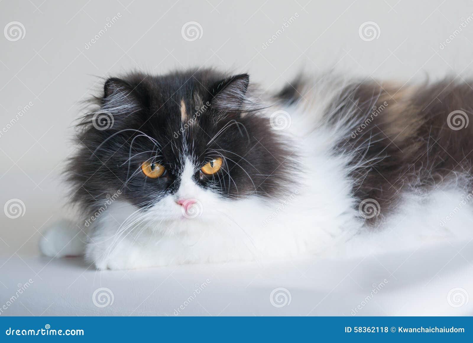 Gatto Persiano In Bianco E Nero Fotografia Stock Immagine Di