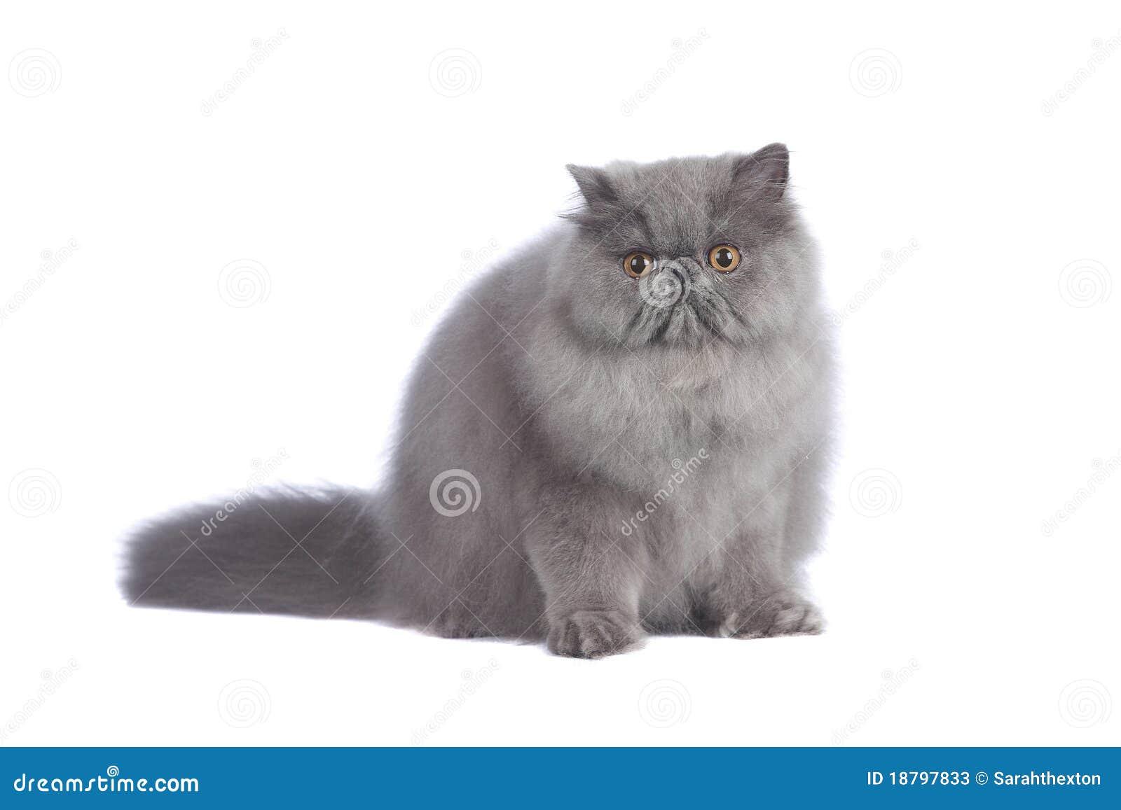 Gatto persiano blu in studio