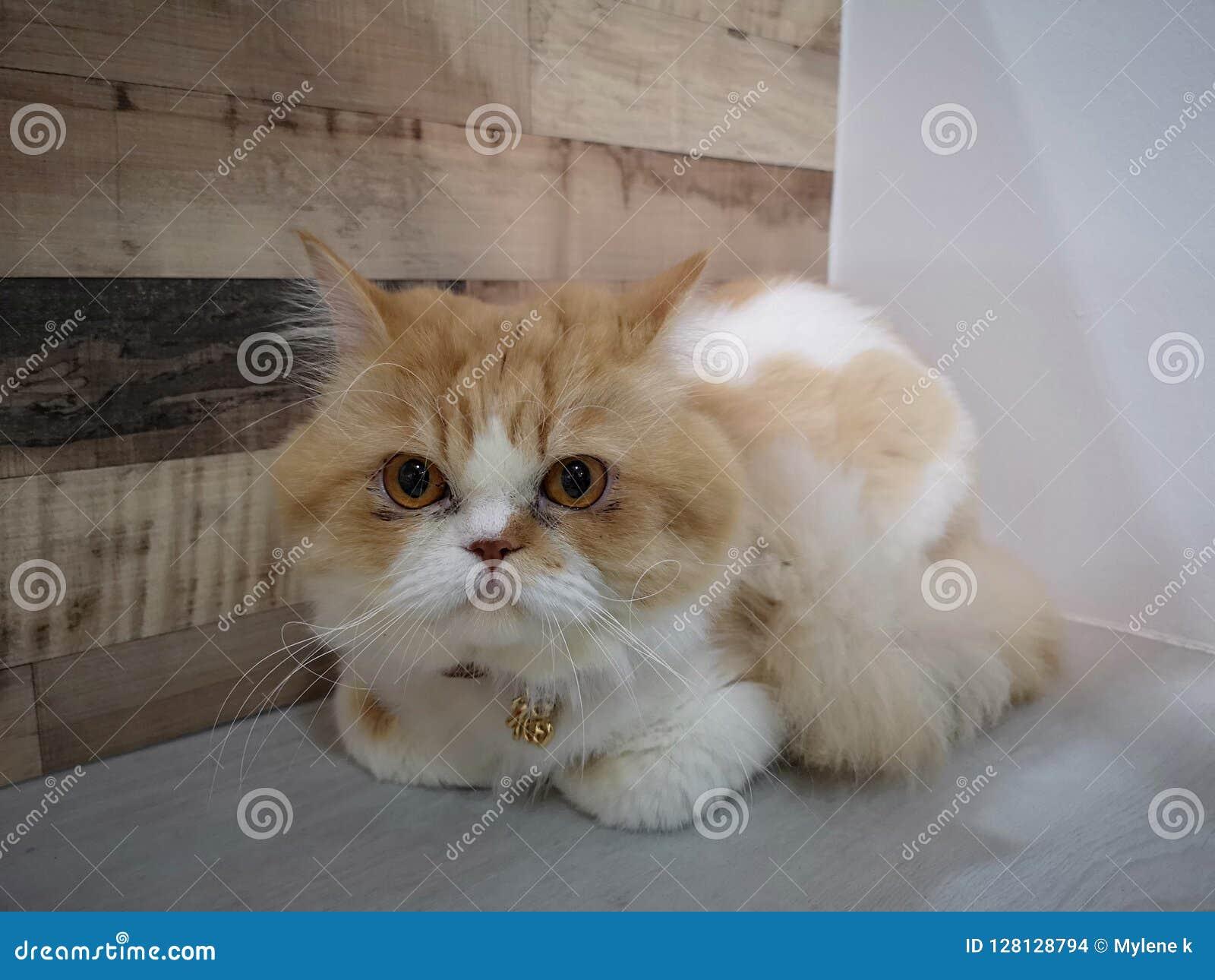 Gatto Persiano Del Miagolio Fotografia Stock Immagine Di Paws