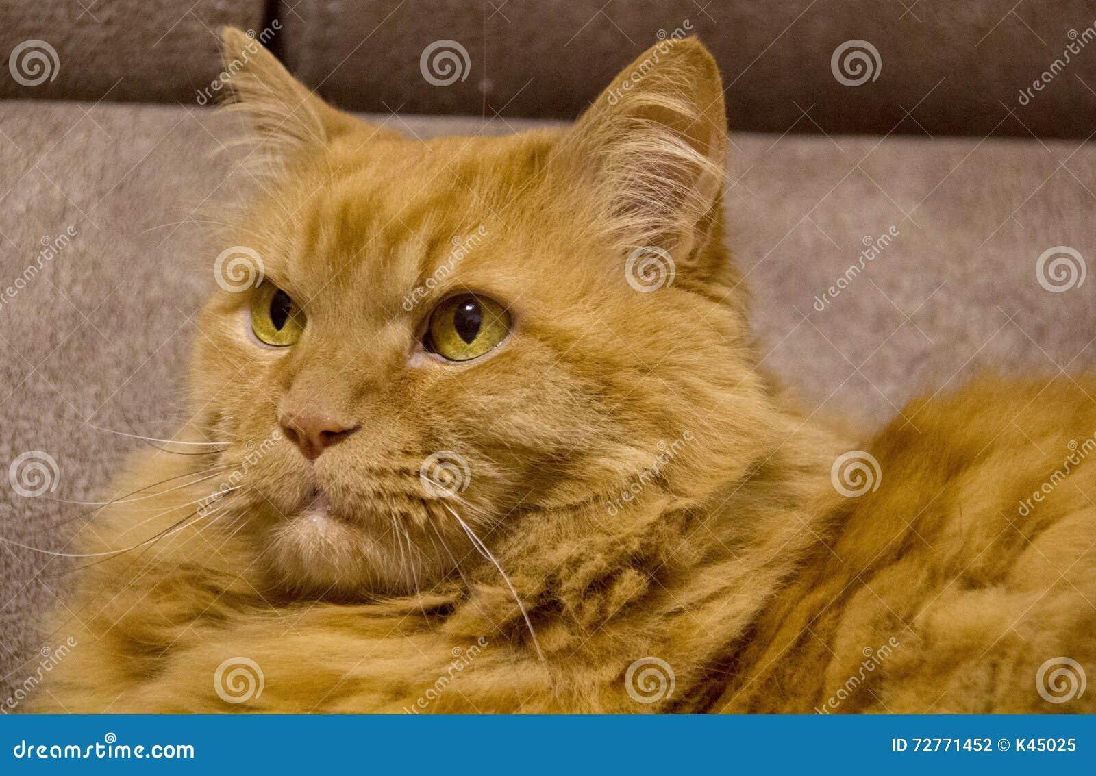 Gatto Persiano Rosso Lanuginoso Con Gli Occhi Gialli Closeup