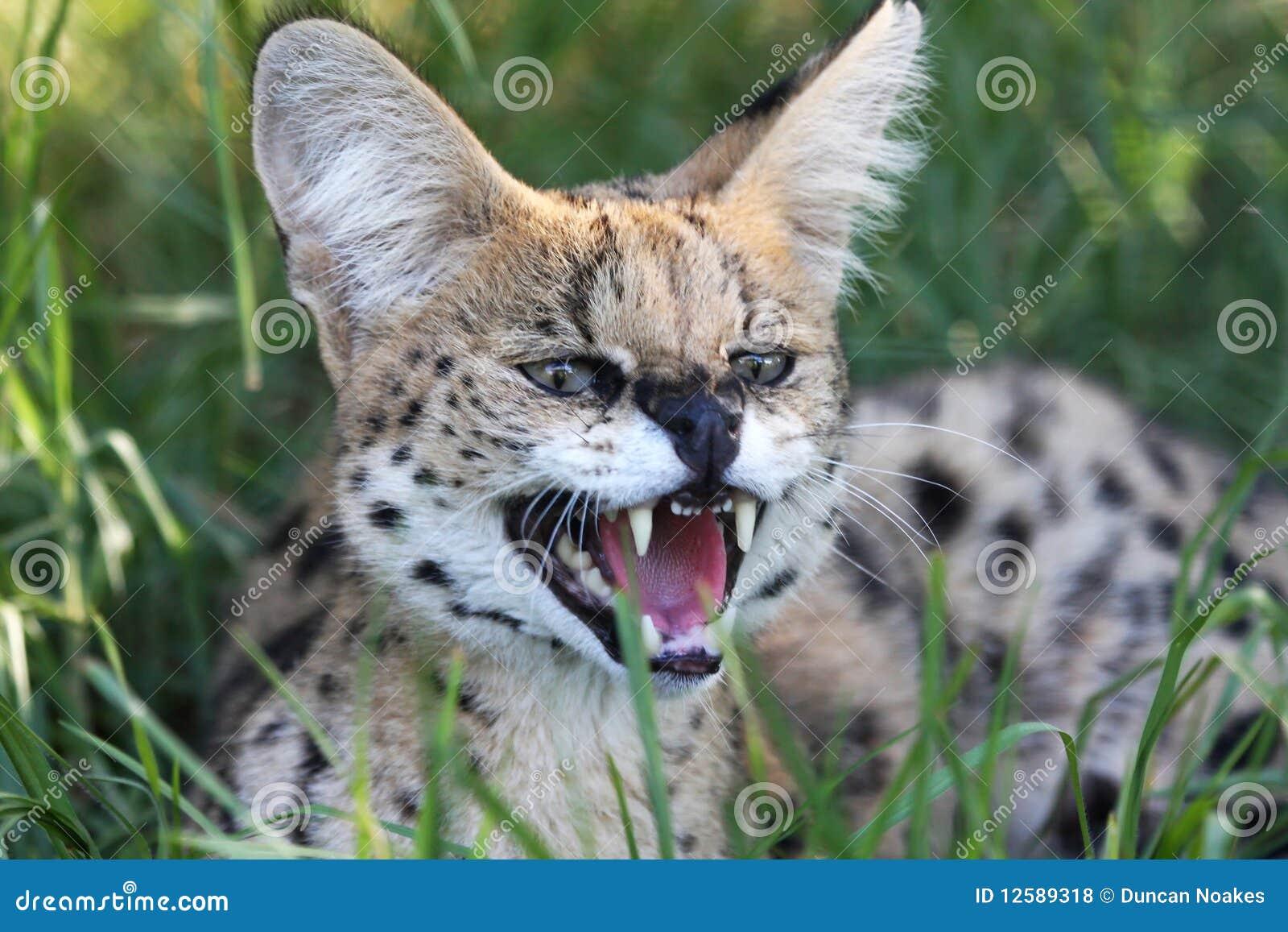 Gatto selvaggio del Serval arrabbiato