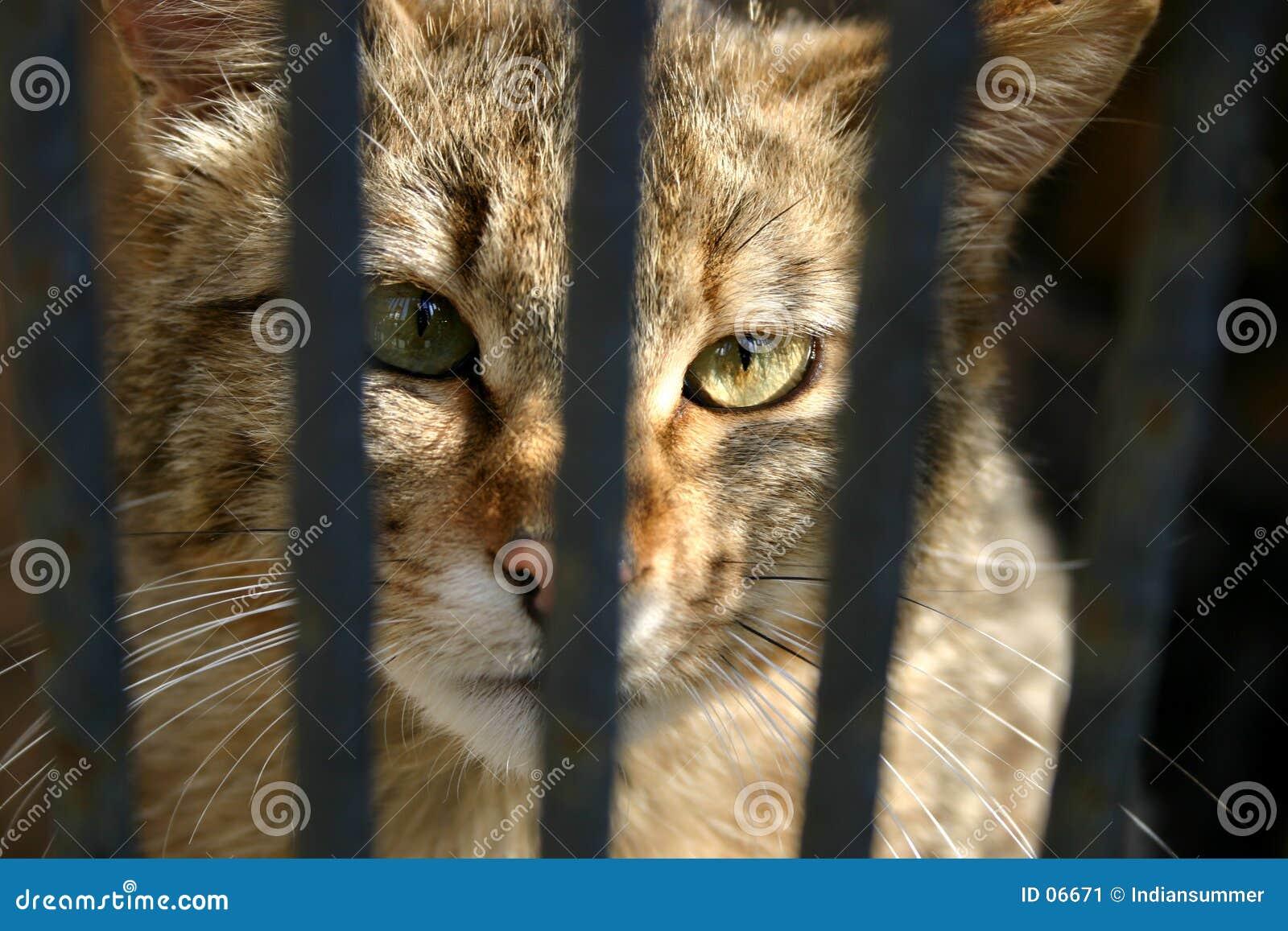 Gatto selvaggio nella gabbia