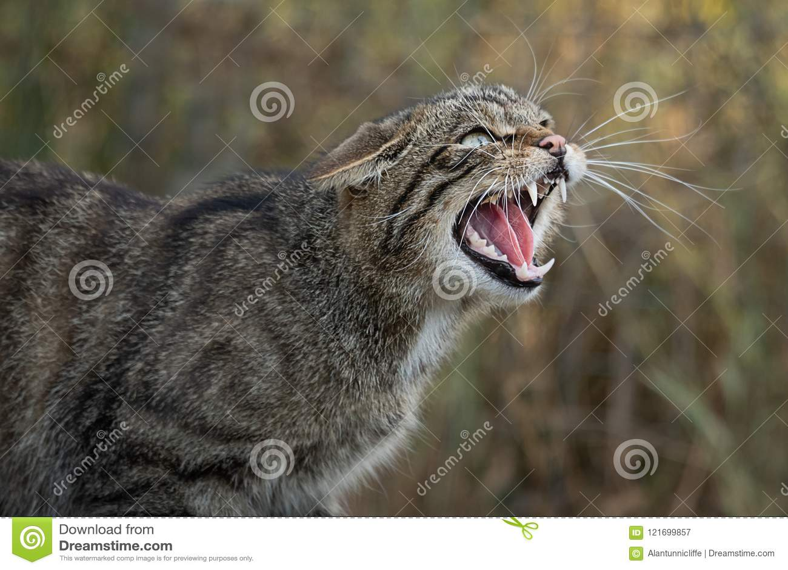 Gatto selvaggio scozzese di ringhio