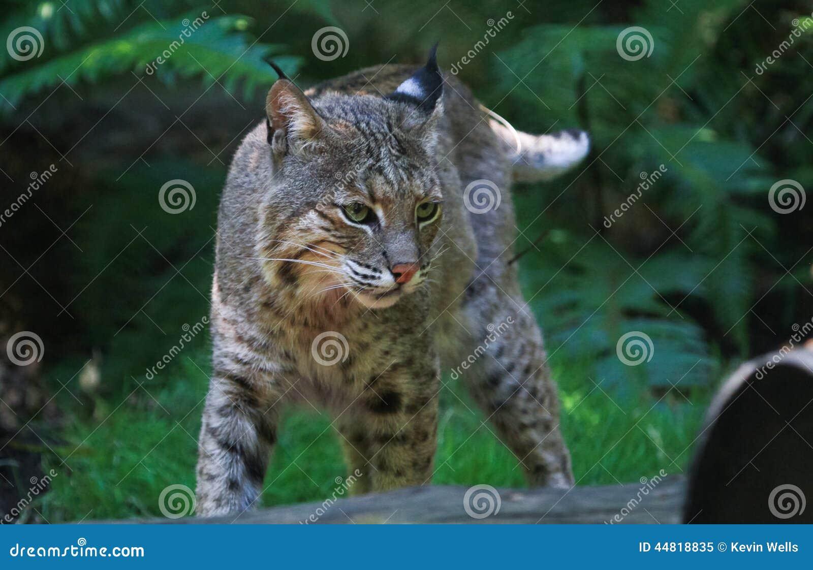 Gatto Selvatico Immagine Stock Immagine Di Oregon Washington