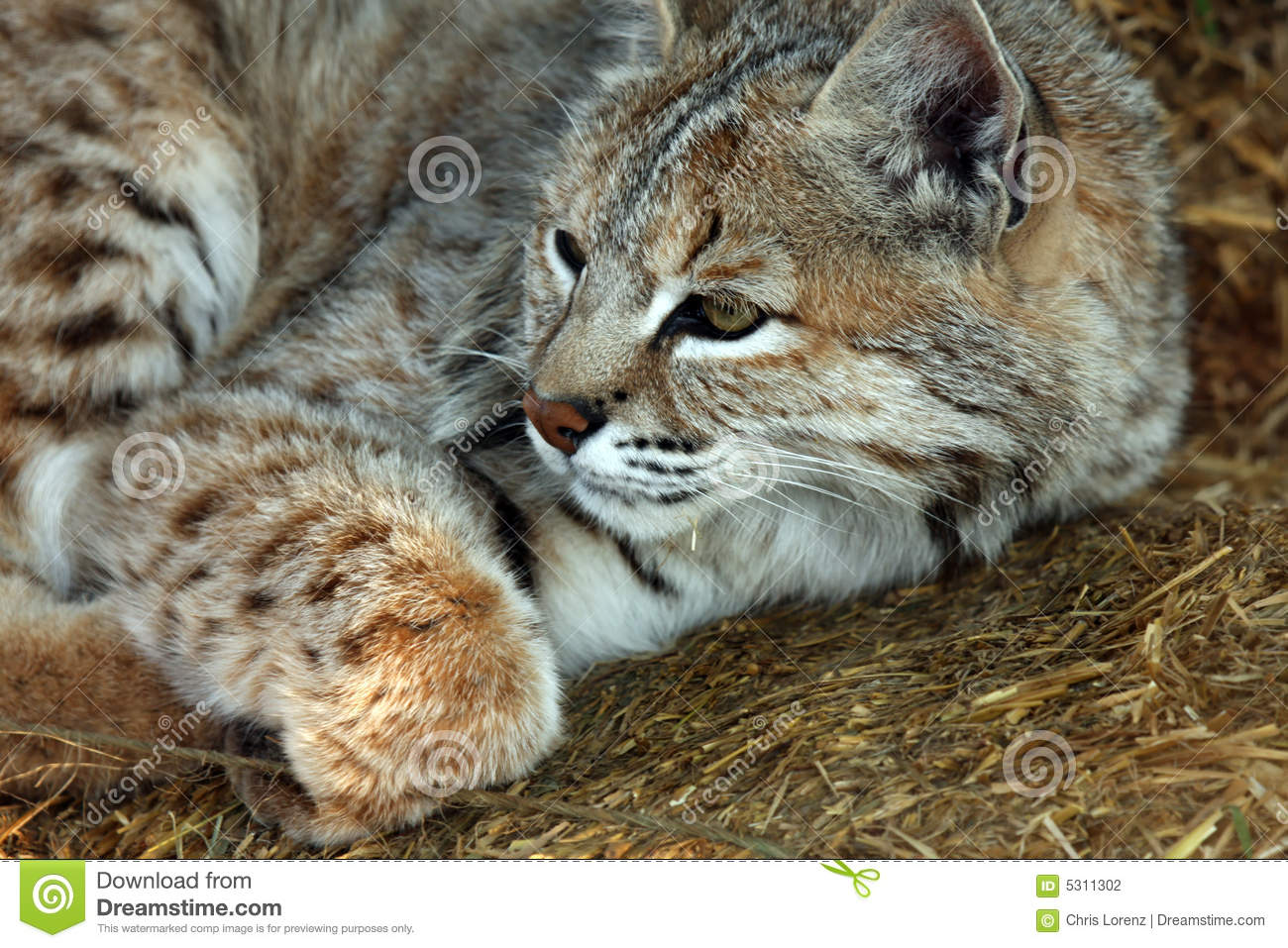 Download Gatto selvatico fotografia stock. Immagine di bobcat, nave - 5311302