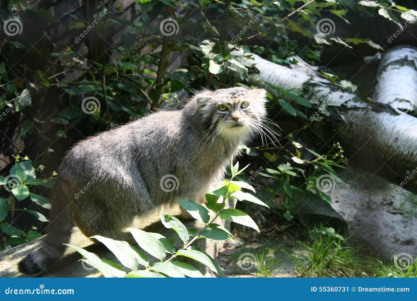 Gatto selvatico in zoo
