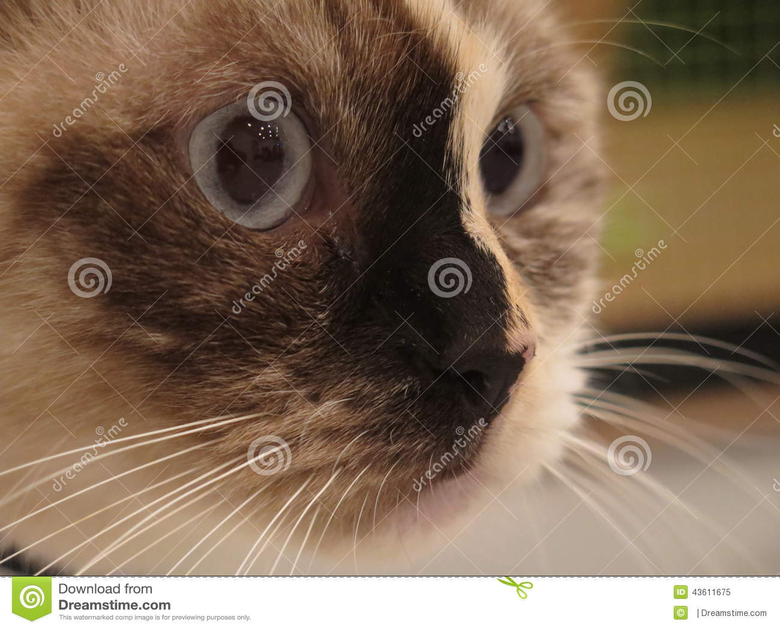 Gatto Siamese Immagine Stock Immagine Di Faccia Ciò 43611675