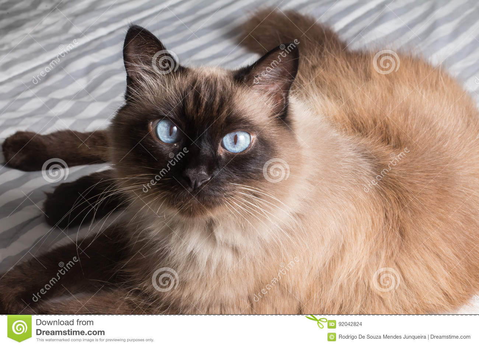 Gatto Siamese Grasso Fotografia Stock Immagine Di Struttura 92042824